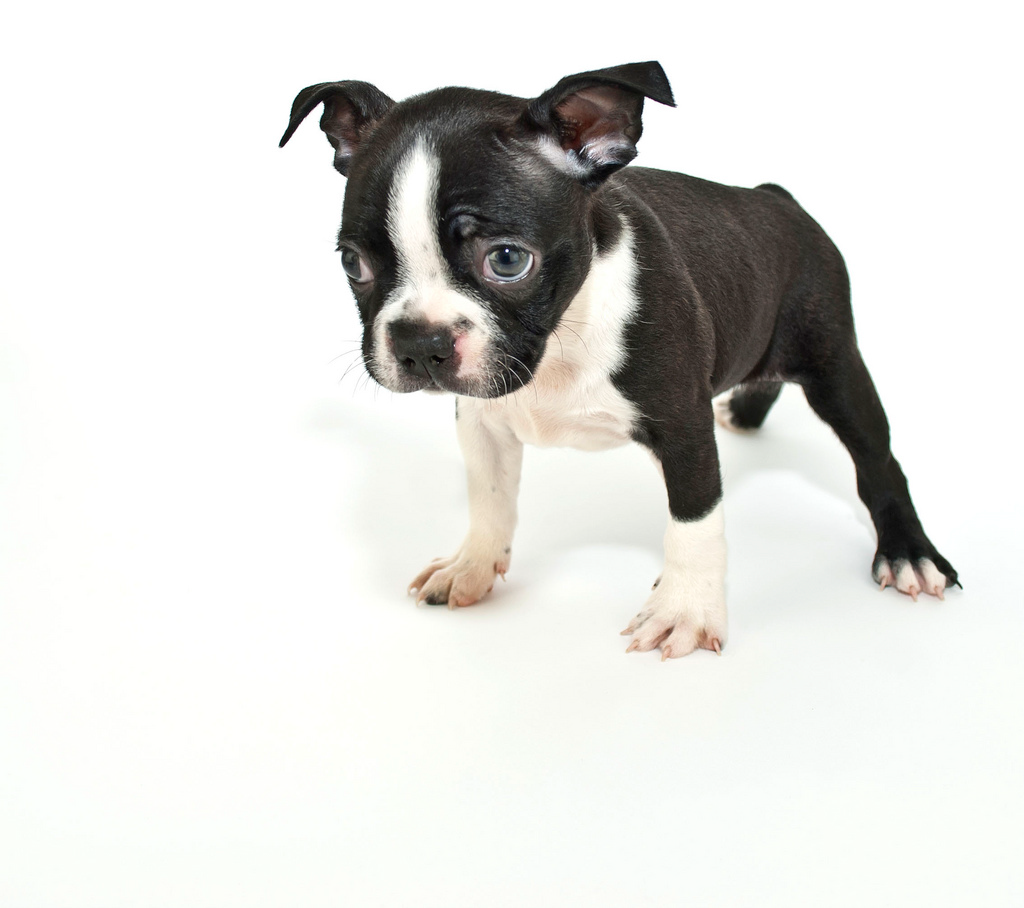 Boston Terrier wallpapers, Animal, HQ Boston Terrier pictures | 4K ...