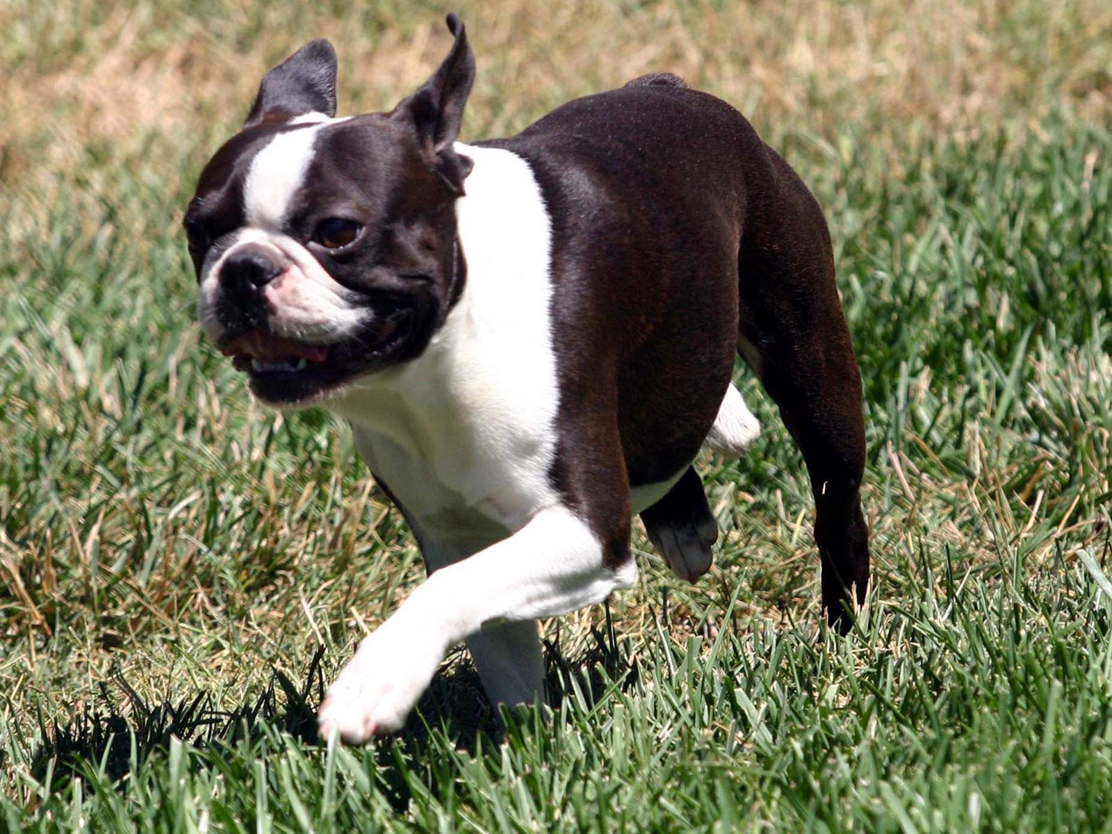 Boston Terrier Desktop Background - Page 3 of 3 - wallpaper.wiki