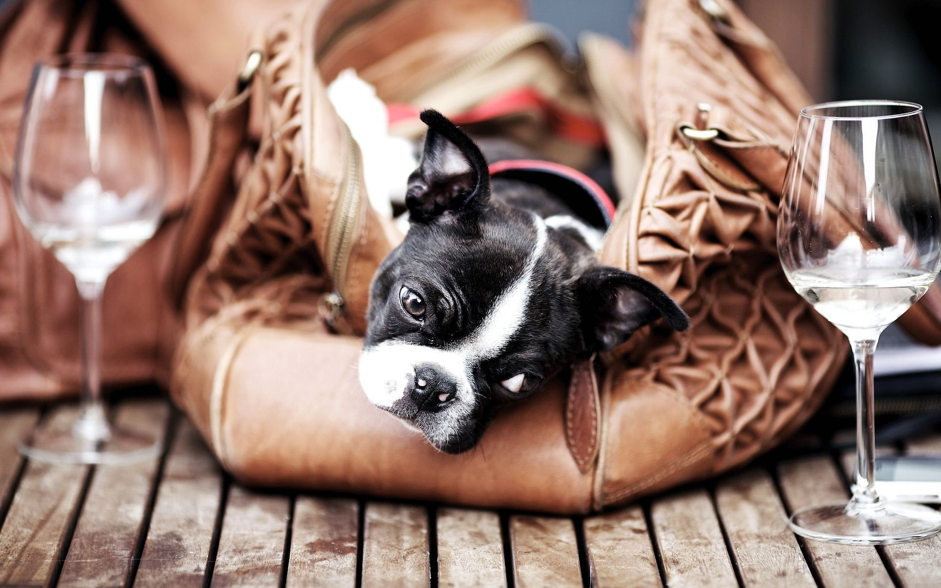Wallpaper boston terrier, dog, glass, bag, floor desktop wallpaper ...