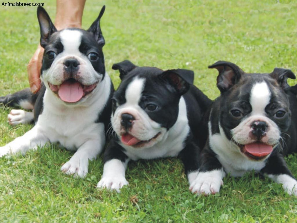 Boston Terrier - Pictures, Information, Temperament ...