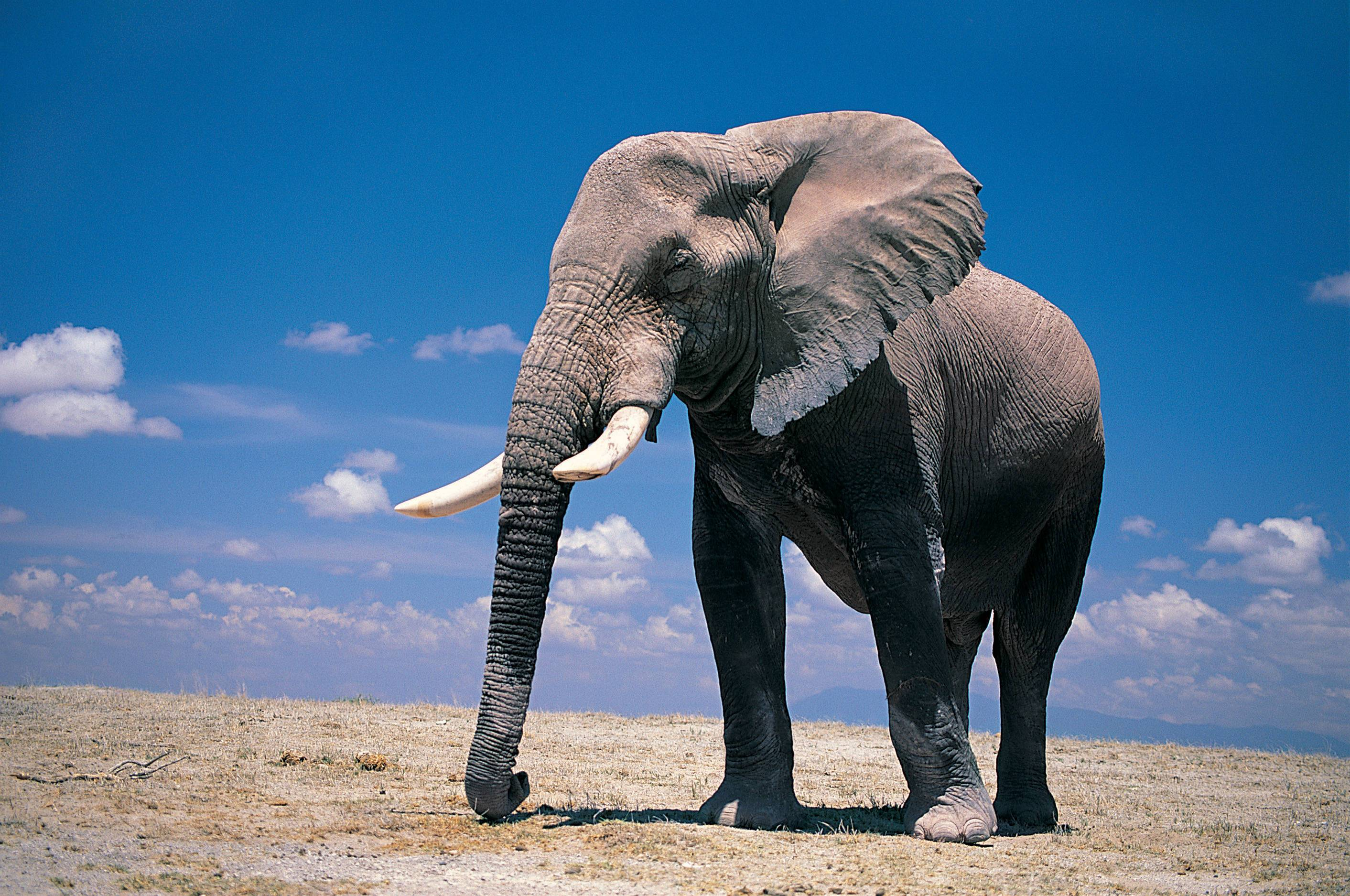 Wallpapers For > Elephant Wallpapers