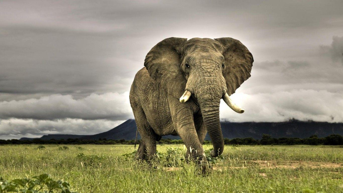 elephant wallpapers | elephant wallpapers