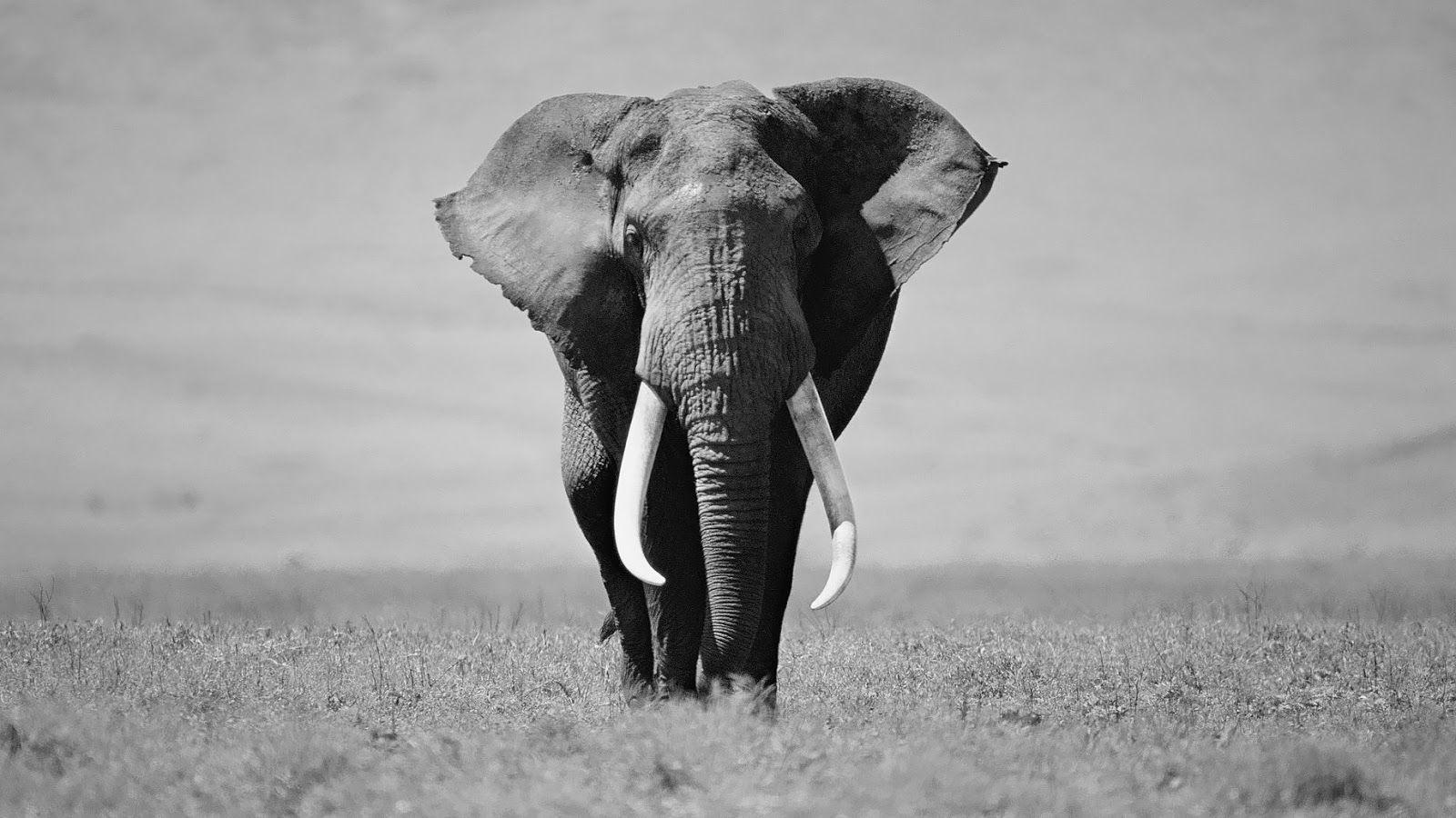 Animals For > Elephant Wallpapers Black And White