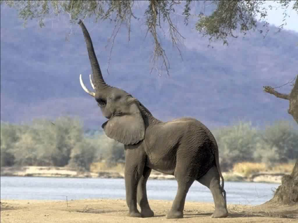 Wallpapers For > Elephant Wallpapers Free Download