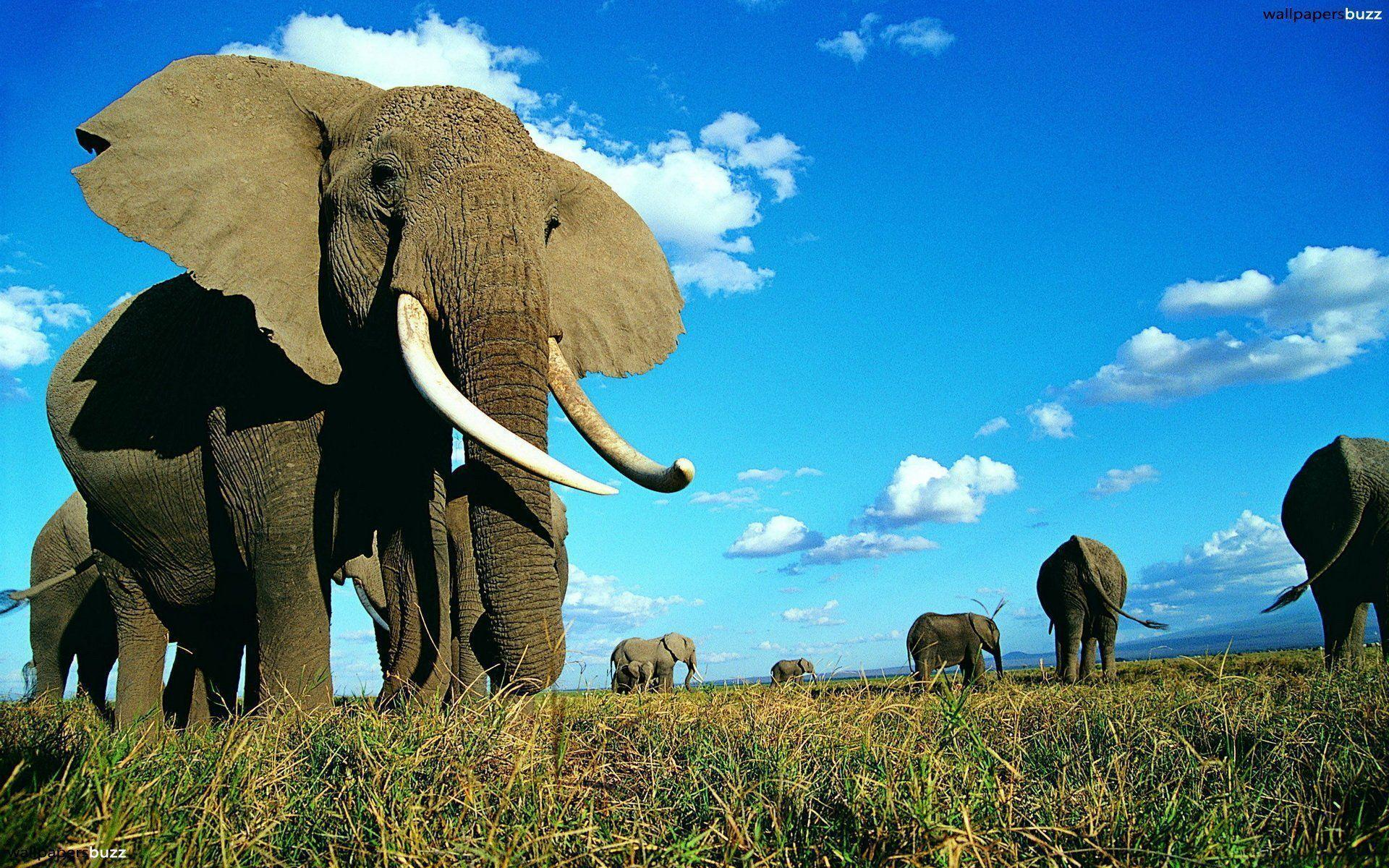 Elephant Wallapaper hd (7) - Wallpapers Online | Amazing ...