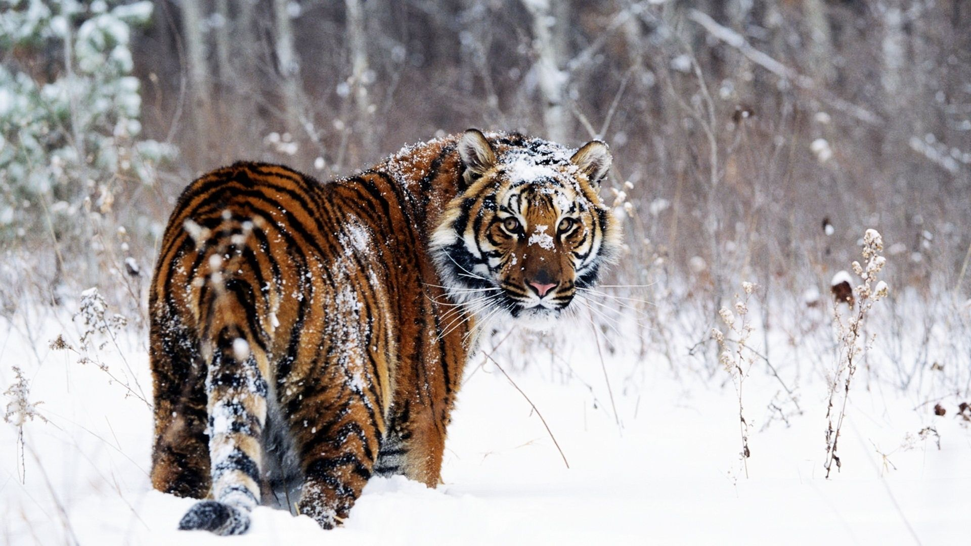 Tiger in Snow Wallpapers in jpg format for free download