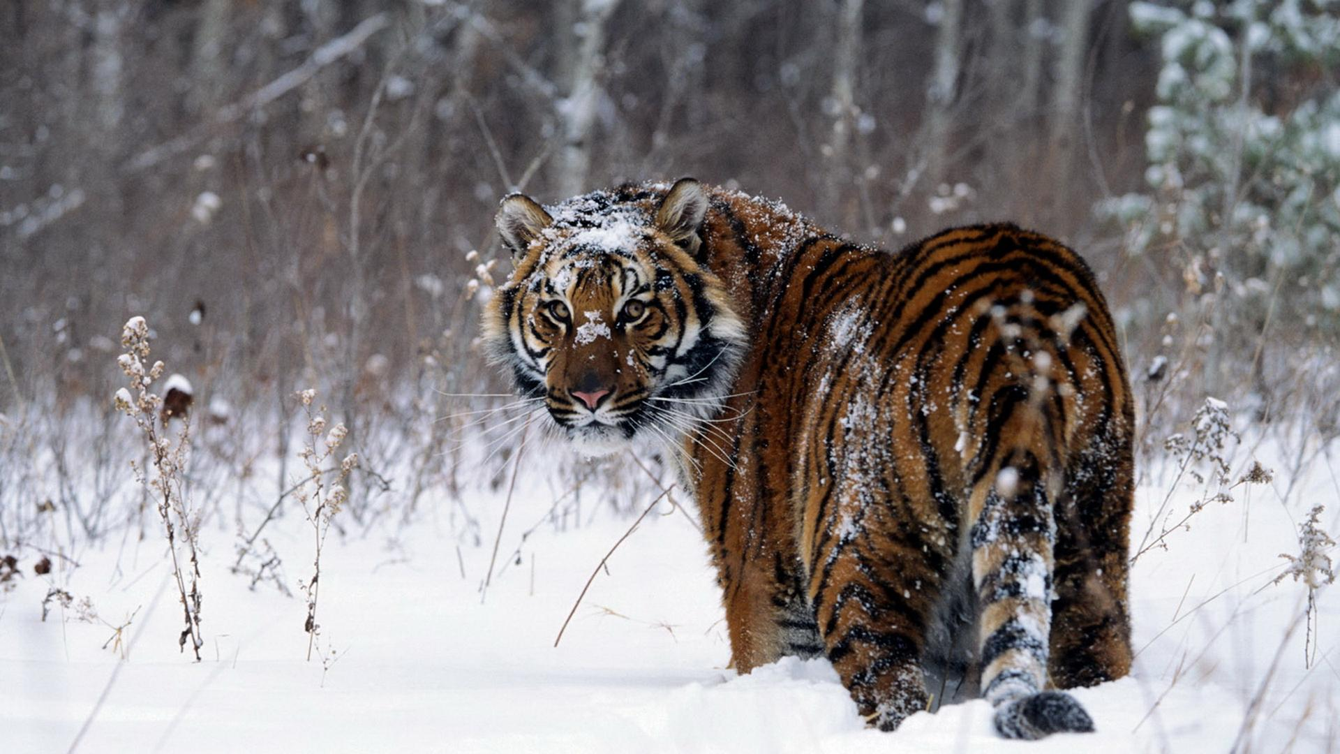 Snow Tiger HD Wallpaper | 1920x1080 | ID:40881 - WallpaperVortex.com