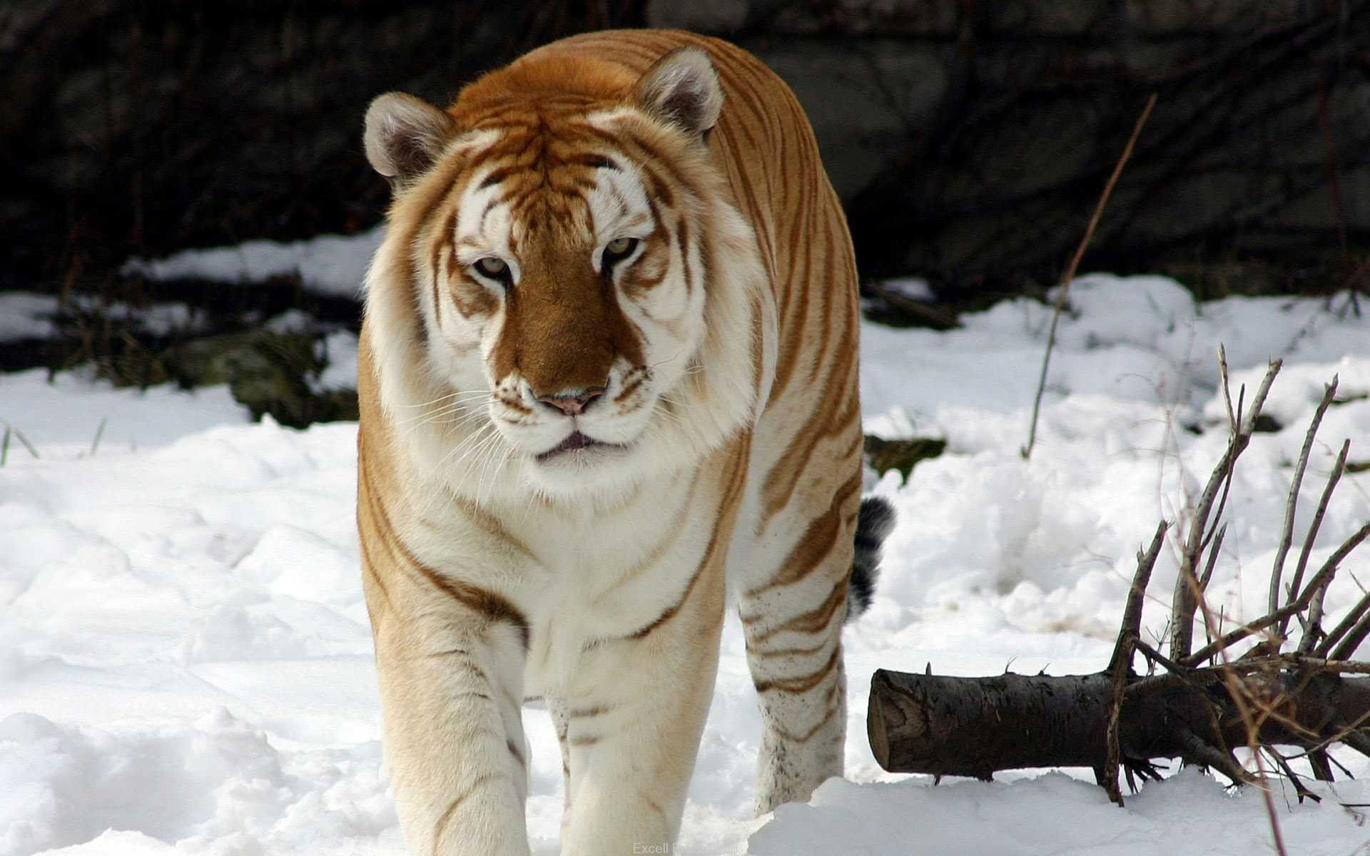 Strange Snow Tiger Wallpapers | HD Wallpapers