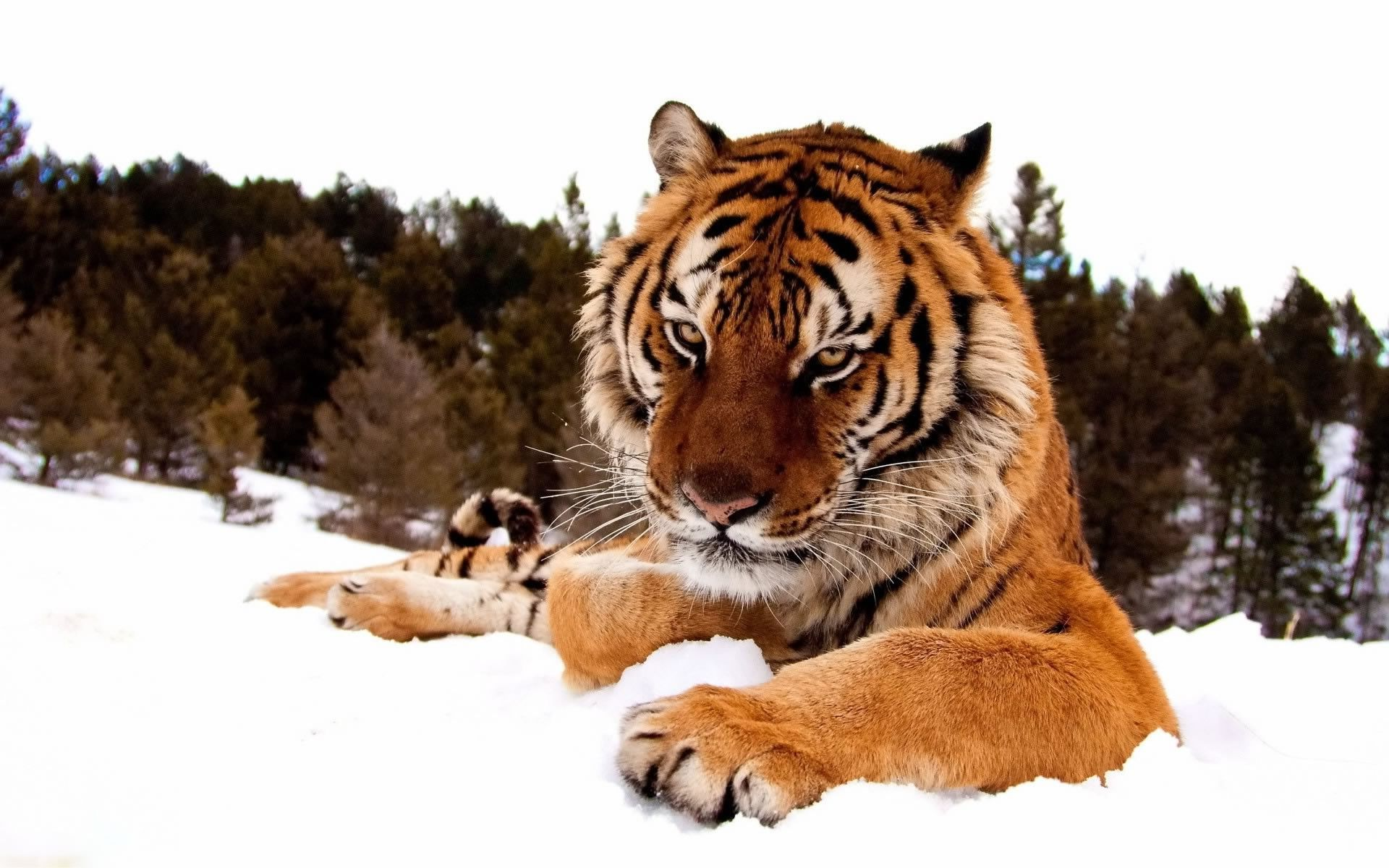 animals, Snow, Tiger Wallpapers HD / Desktop and Mobile Backgrounds