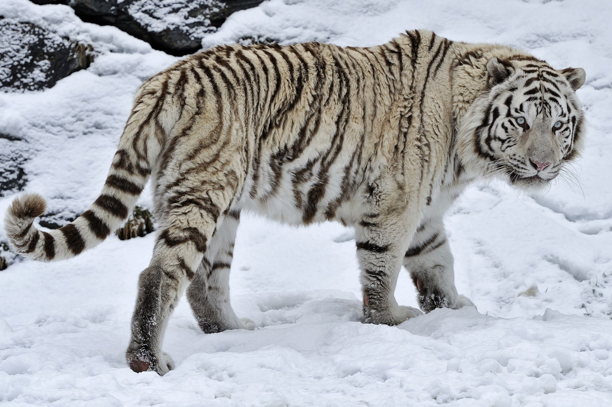 White tiger tiger wild cat snow winter wallpaper | 2048x1363 ...