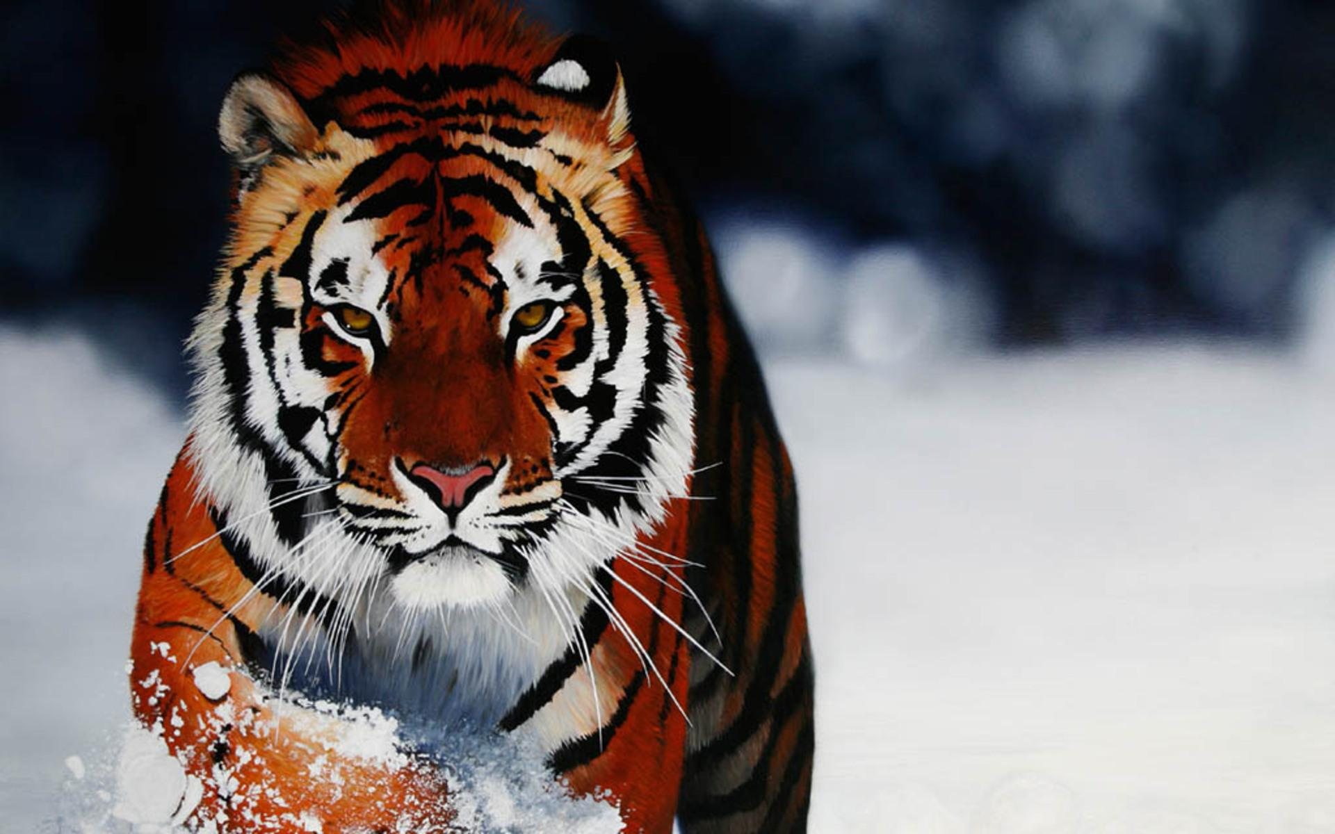 Tiger In Snow Wallpaper | 1920x1200 | ID:36472 - WallpaperVortex.com