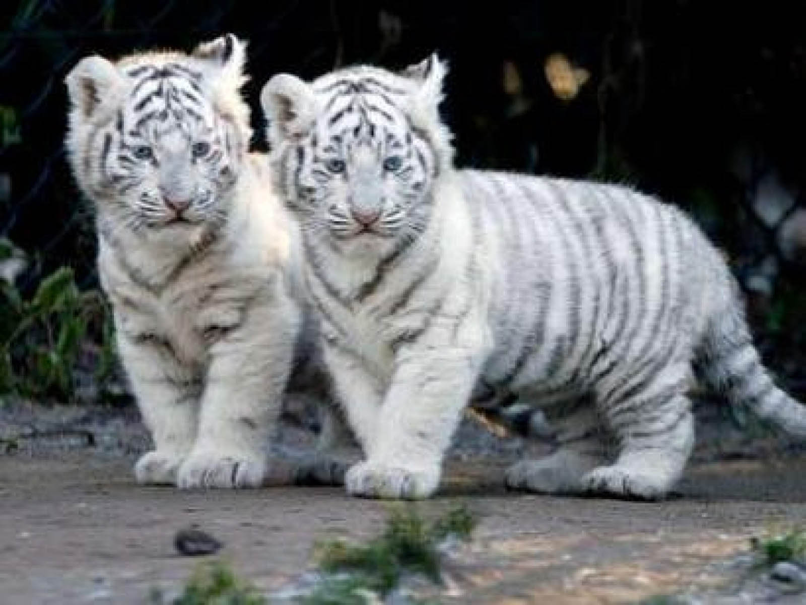 Baby White Tiger wallpaper | 1600x1200 | #11537 | Download ...