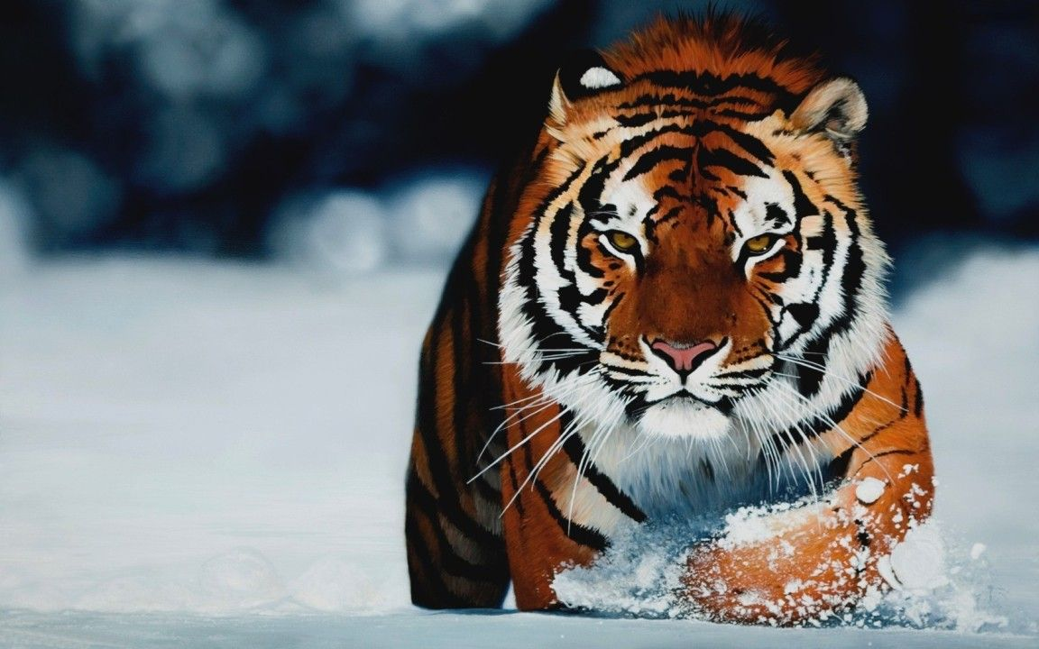 Tiger Snow Wide wallpapers (32 Wallpapers) – HD Wallpapers