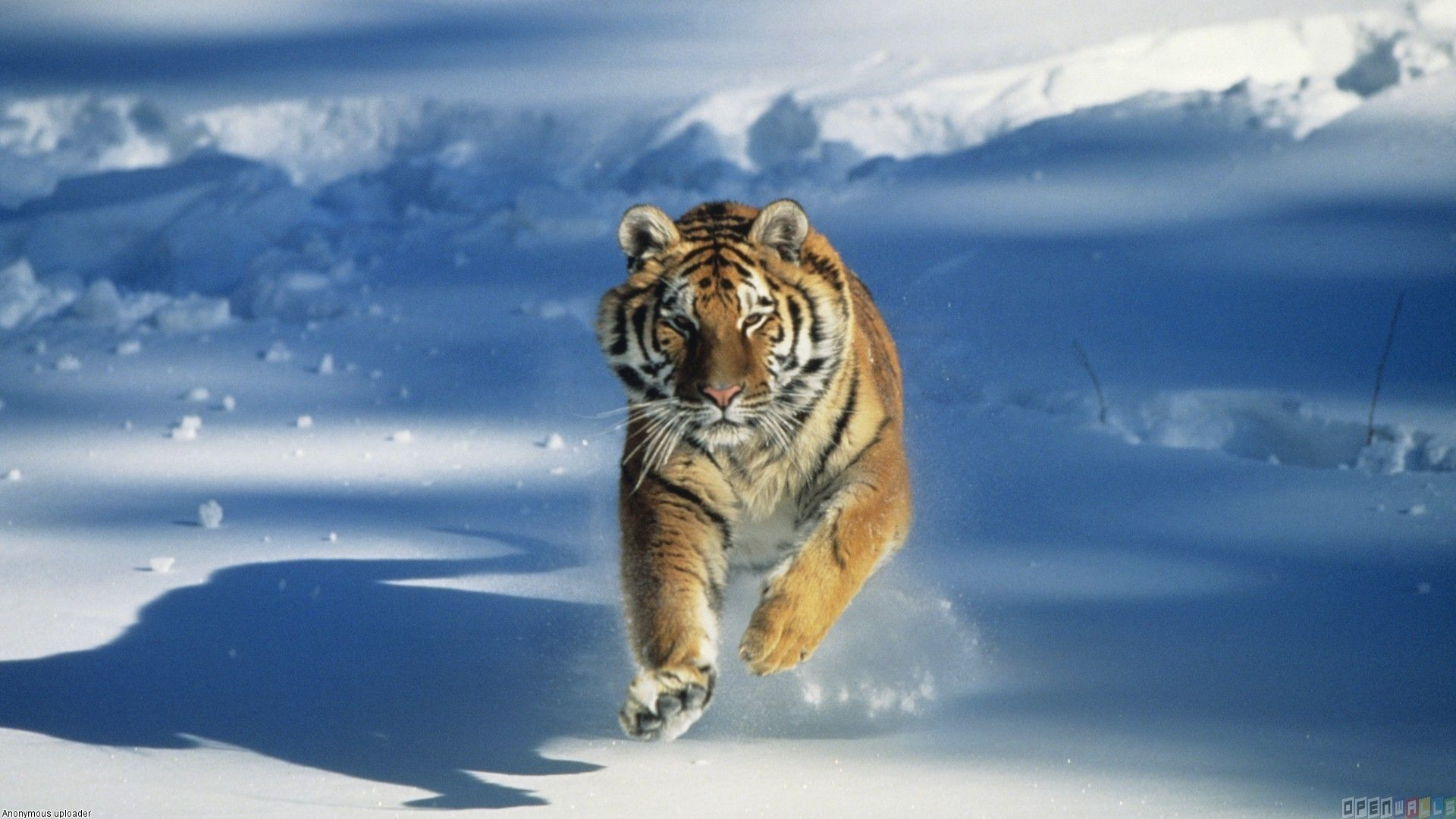 Snow Tiger Wallpapers, PC Snow Tiger Wallpapers Most Beautiful ...