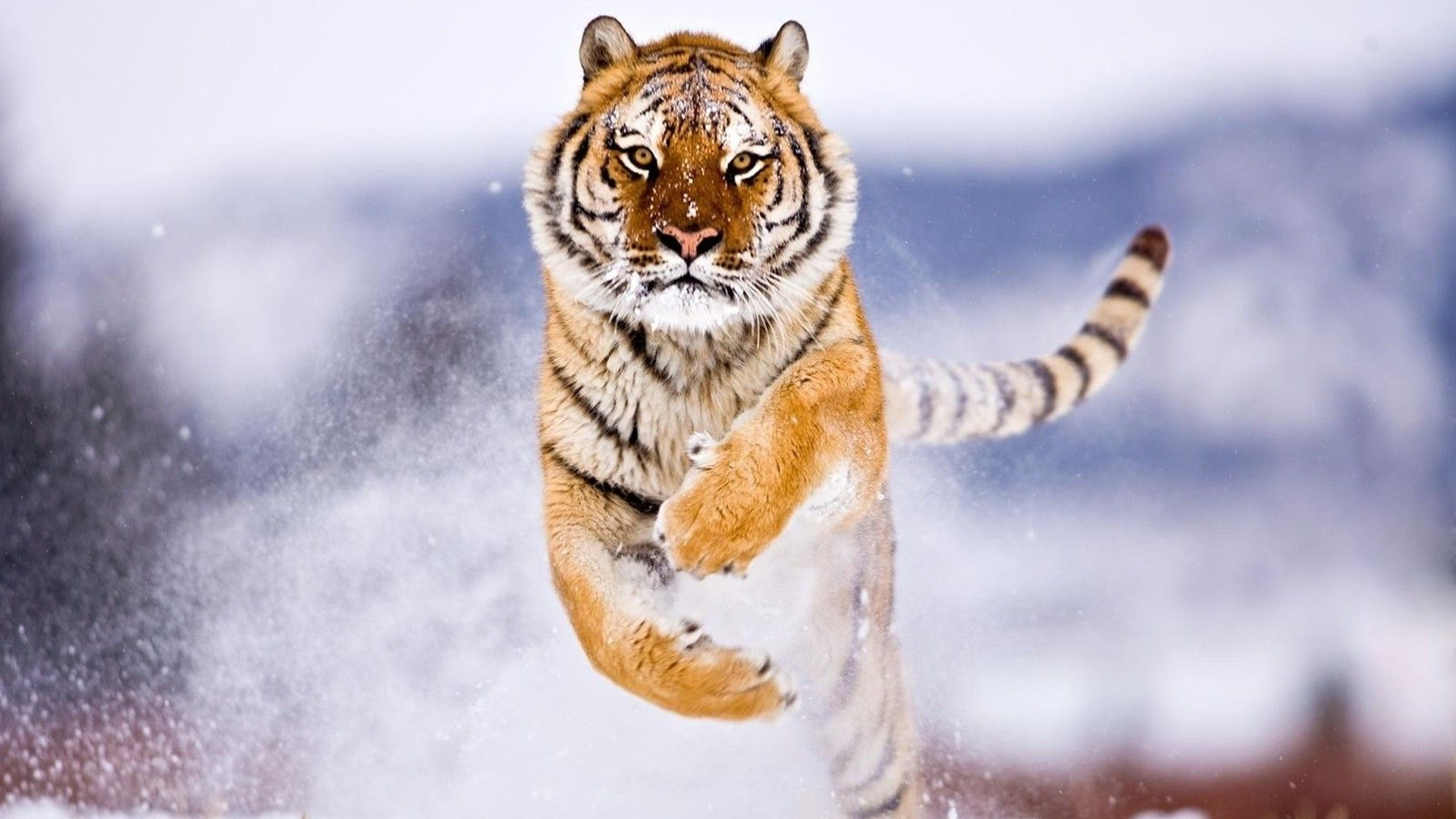 Siberian snow tiger iPhone Wallpapers iPhone Wallpaper | HD ...