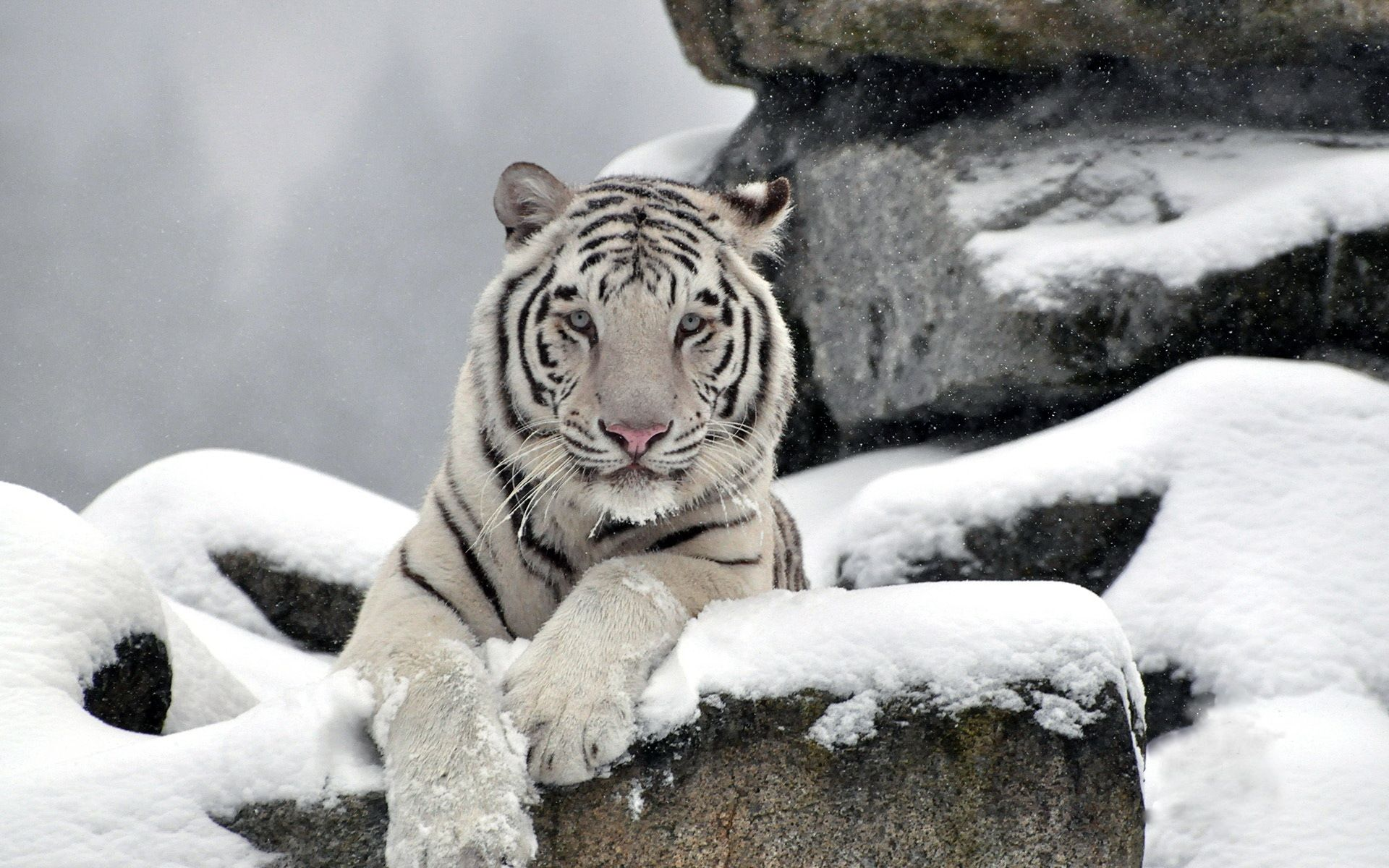 white tiger in the winter