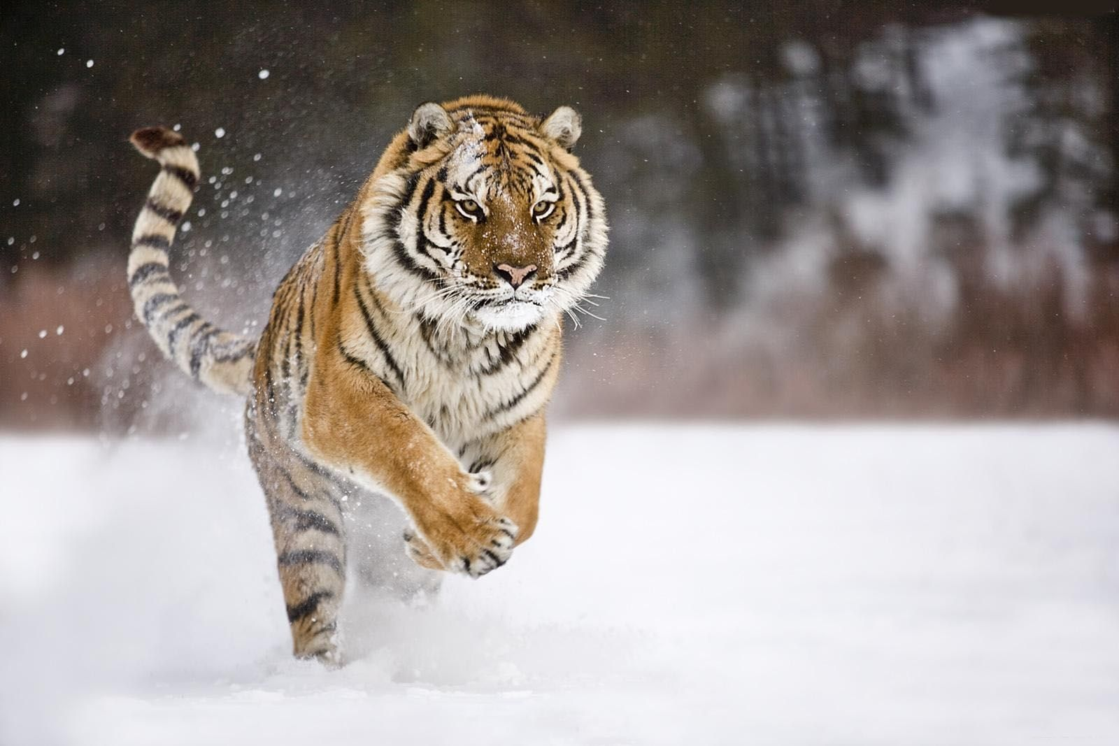 Running Tigers Fresh HD Wallpapers 2013 | Top hd animals wallpapers