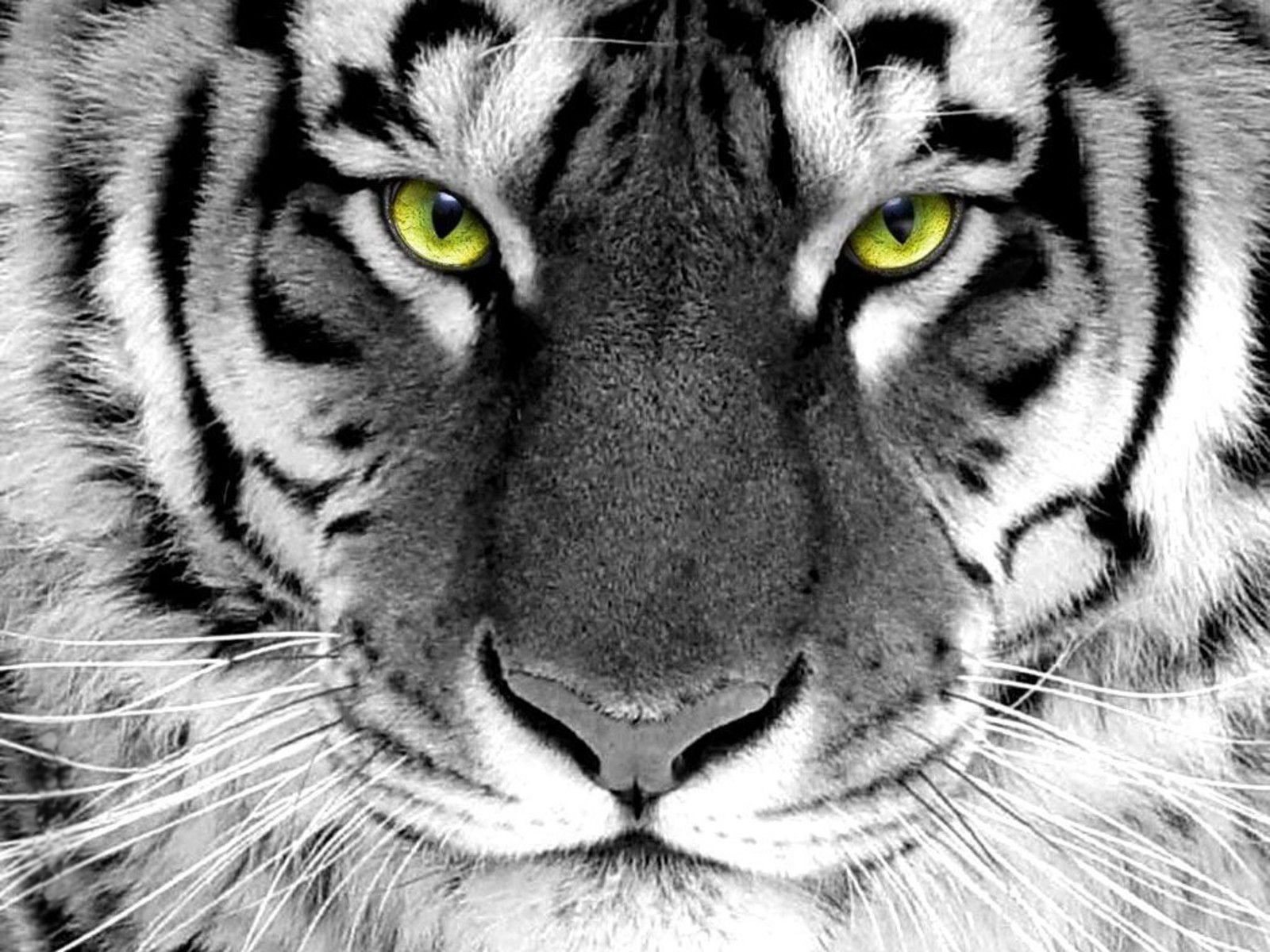 Free Tiger Wallpaper Phone « Long Wallpapers