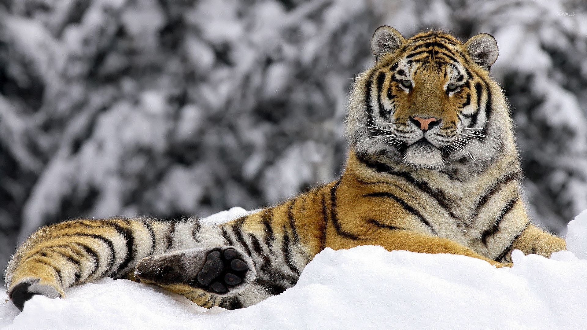 Tiger in the snow wallpaper - Animal wallpapers - #54063