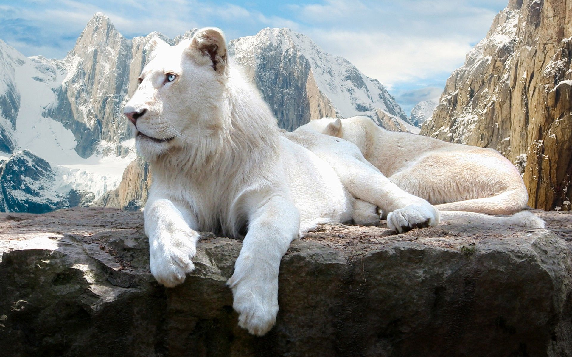 White Snow Tiger Wallpapers - New HD Wallpapers