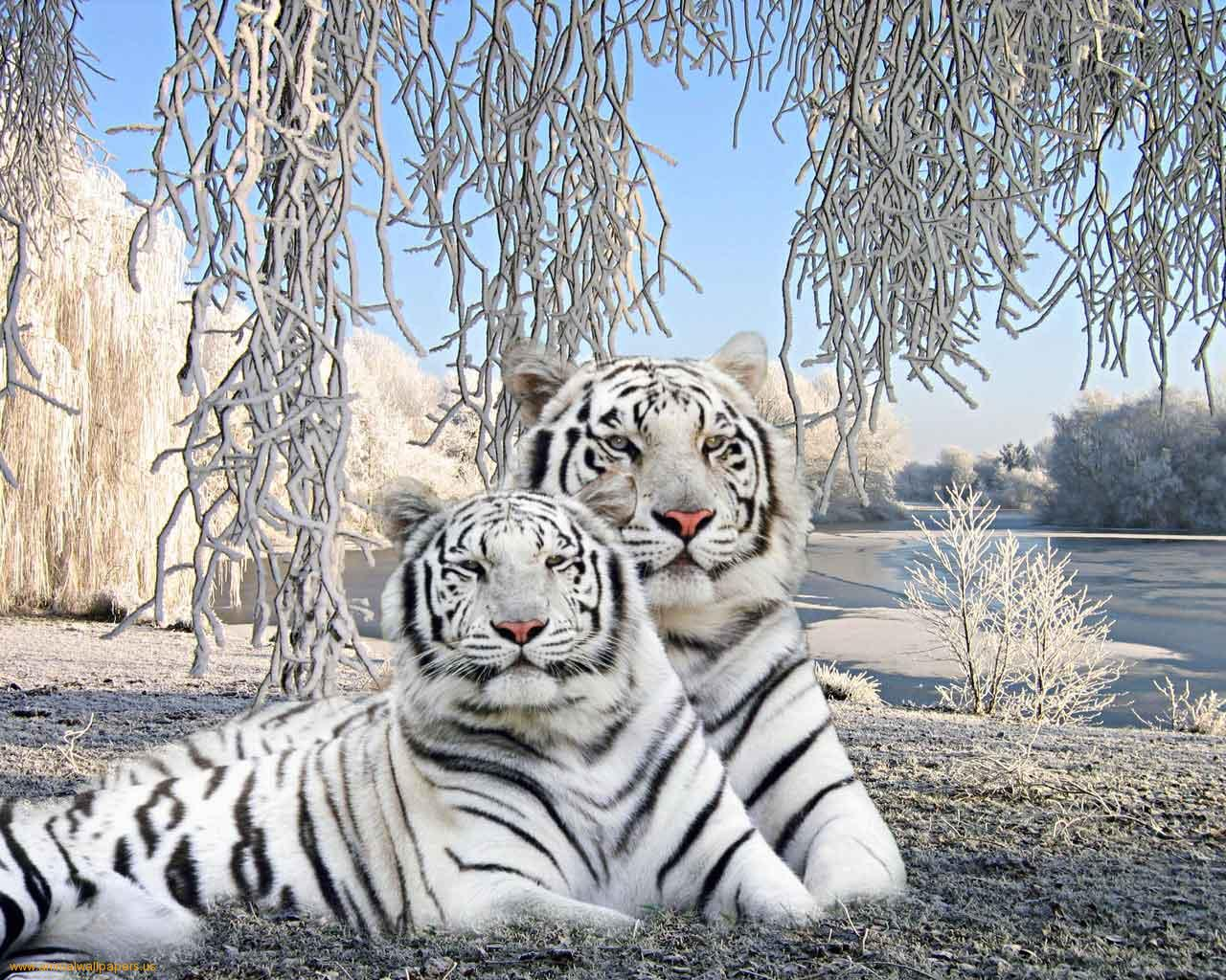 White Tiger Wallpapers | Ultra High Quality Wallpapers