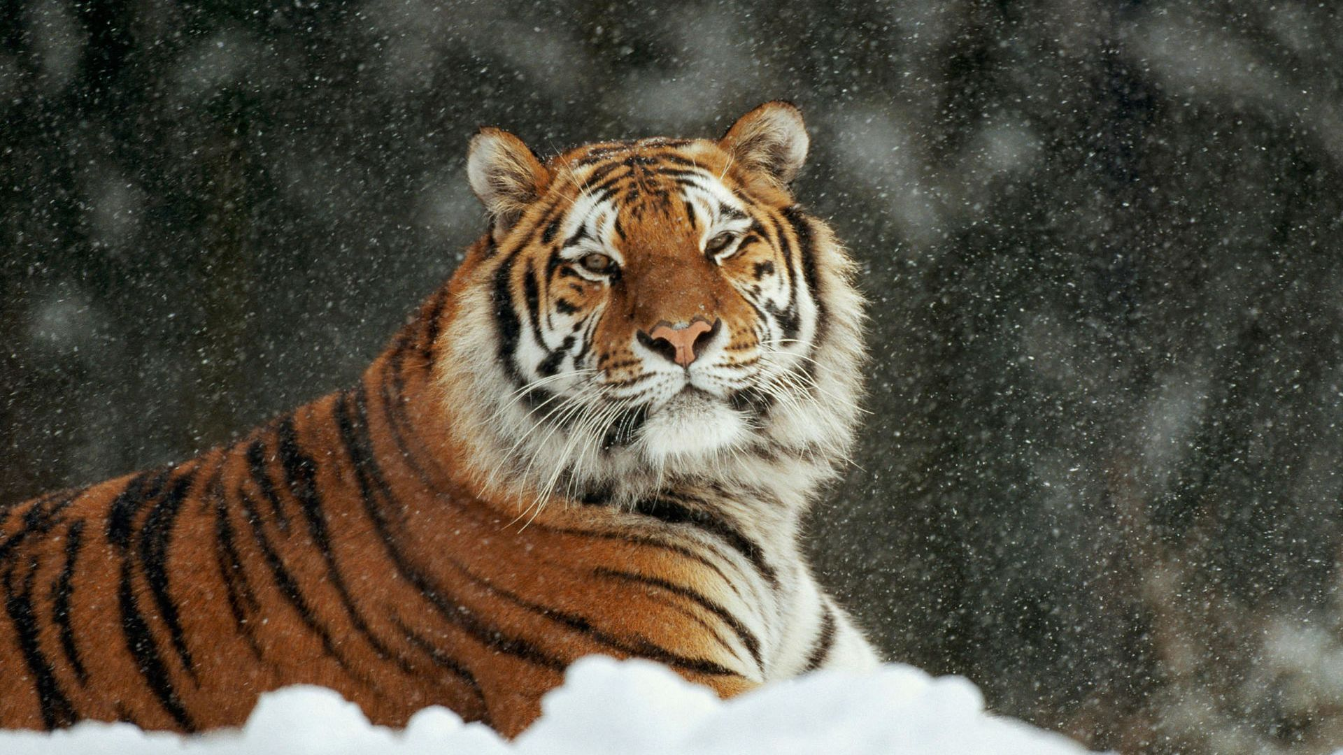 Siberian Snow Tiger wallpapers (78 Wallpapers) – HD Wallpapers
