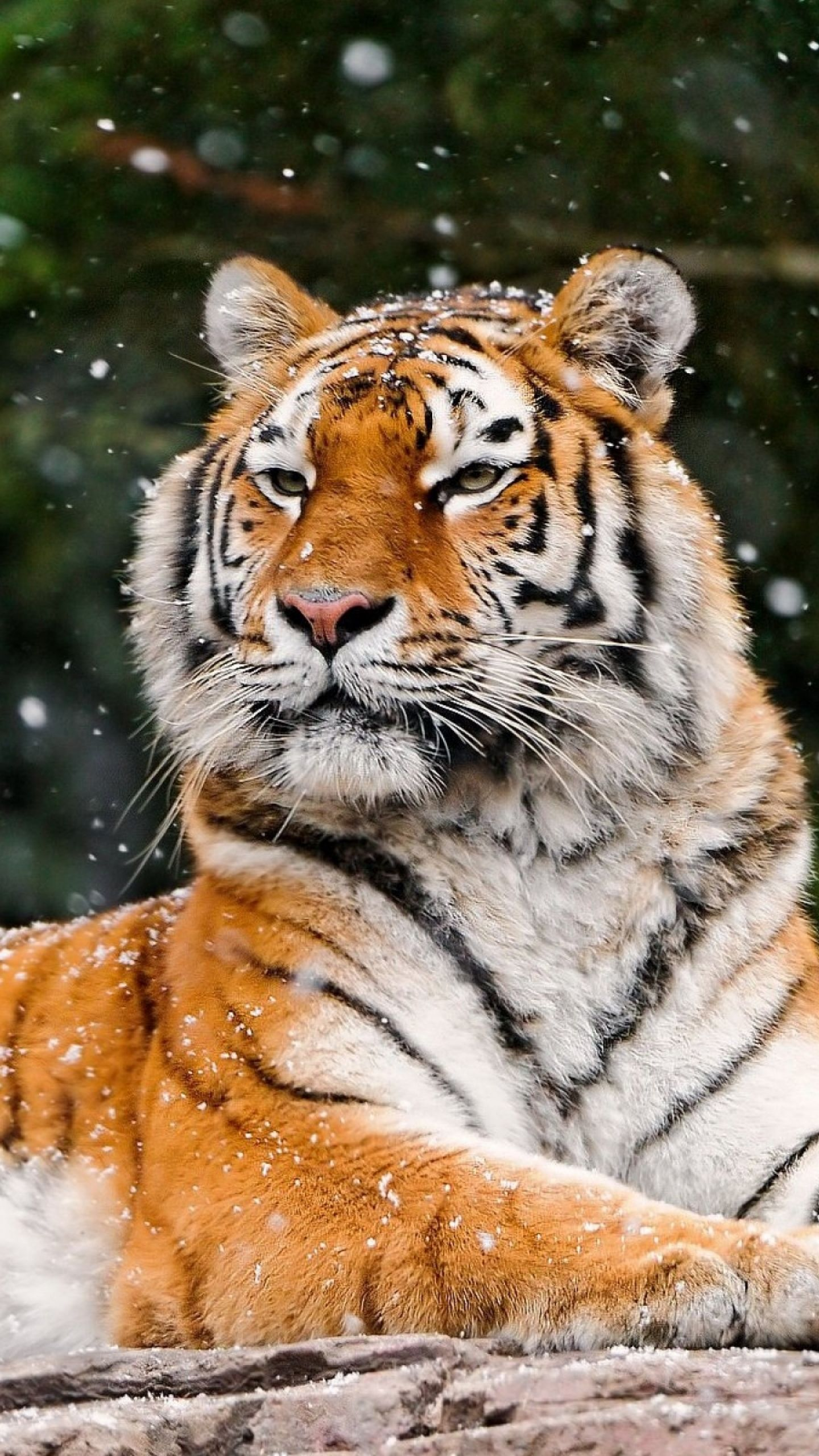 Download Wallpaper 1440x2560 Tiger, Snow, Lying, Animal QHD ...