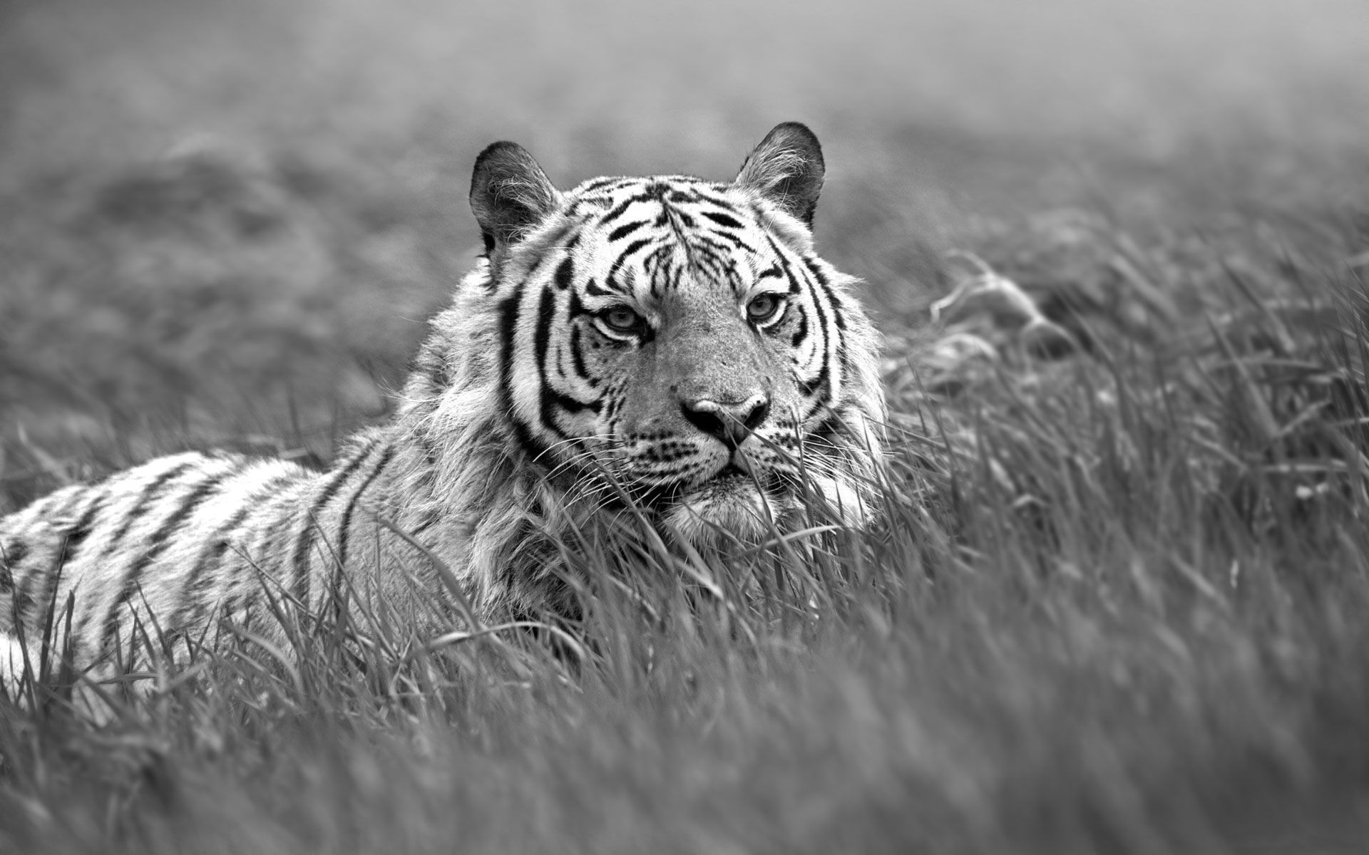 white tiger images - Google Search | LIONS & TIGERS | Pinterest ...