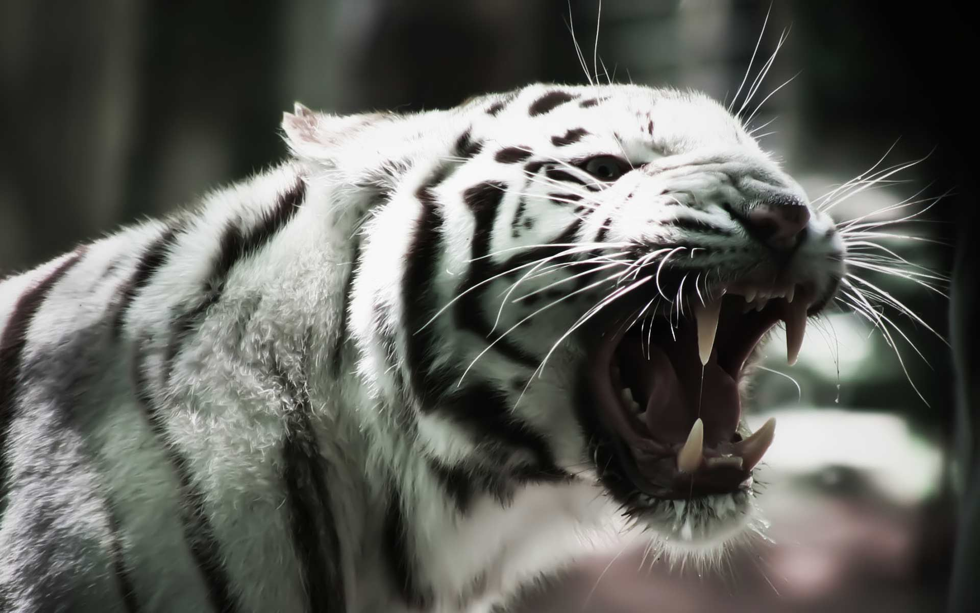 white tiger wallpapers - HD Desktop Wallpapers | 4k HD