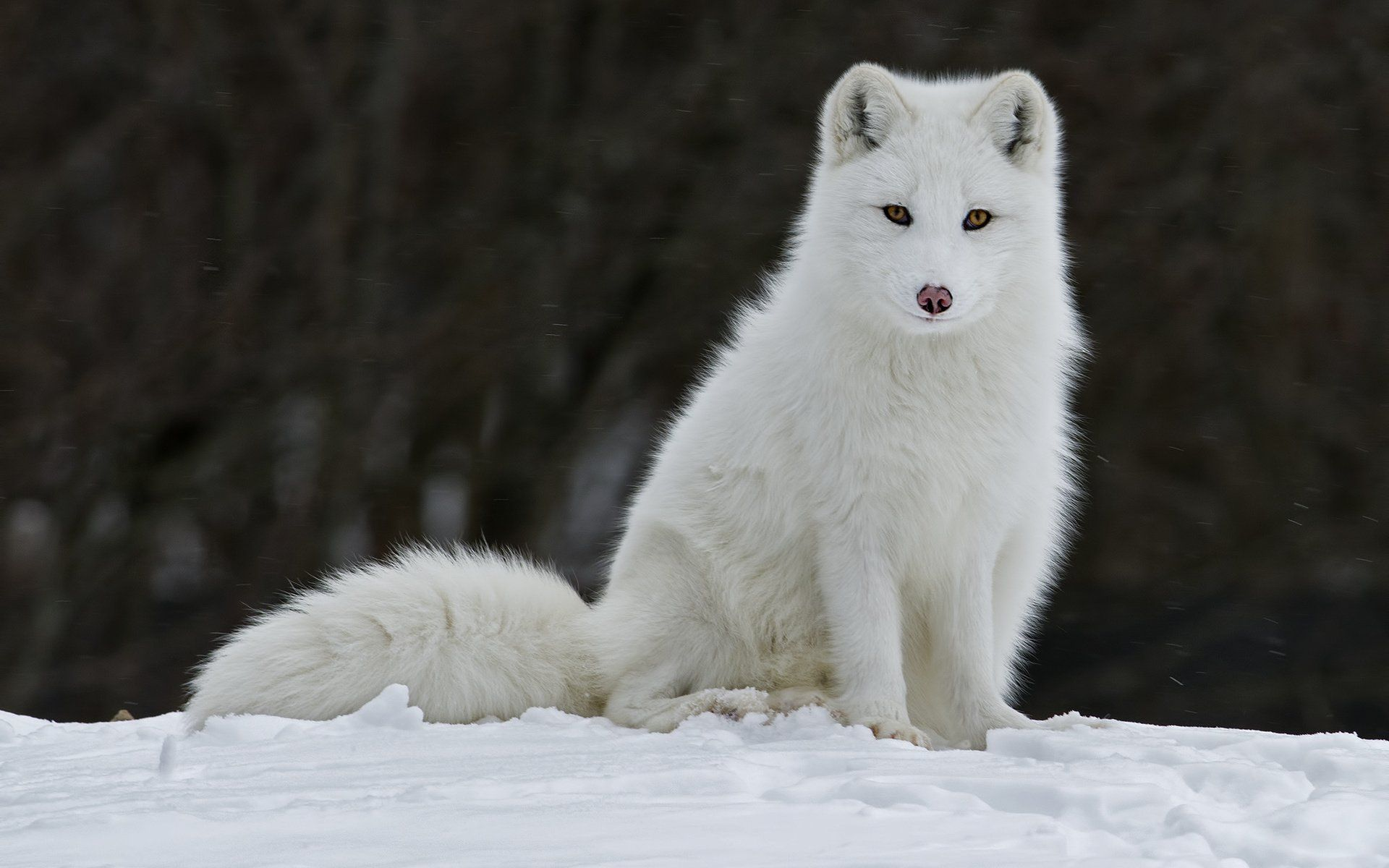 67 Arctic Fox HD Wallpapers | Backgrounds - Wallpaper Abyss