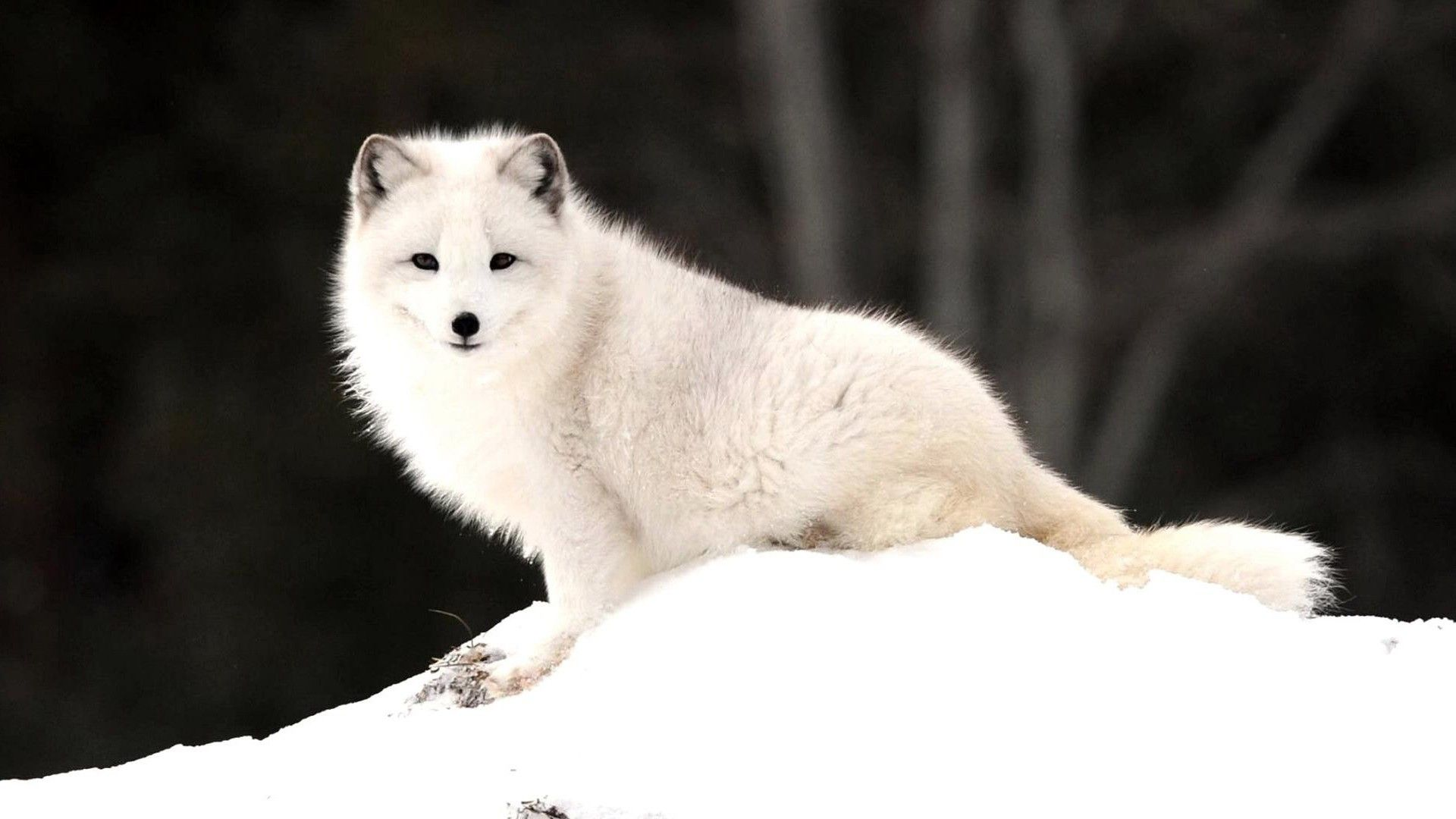 Arctic Fox Wallpaper HD 18655 - Baltana