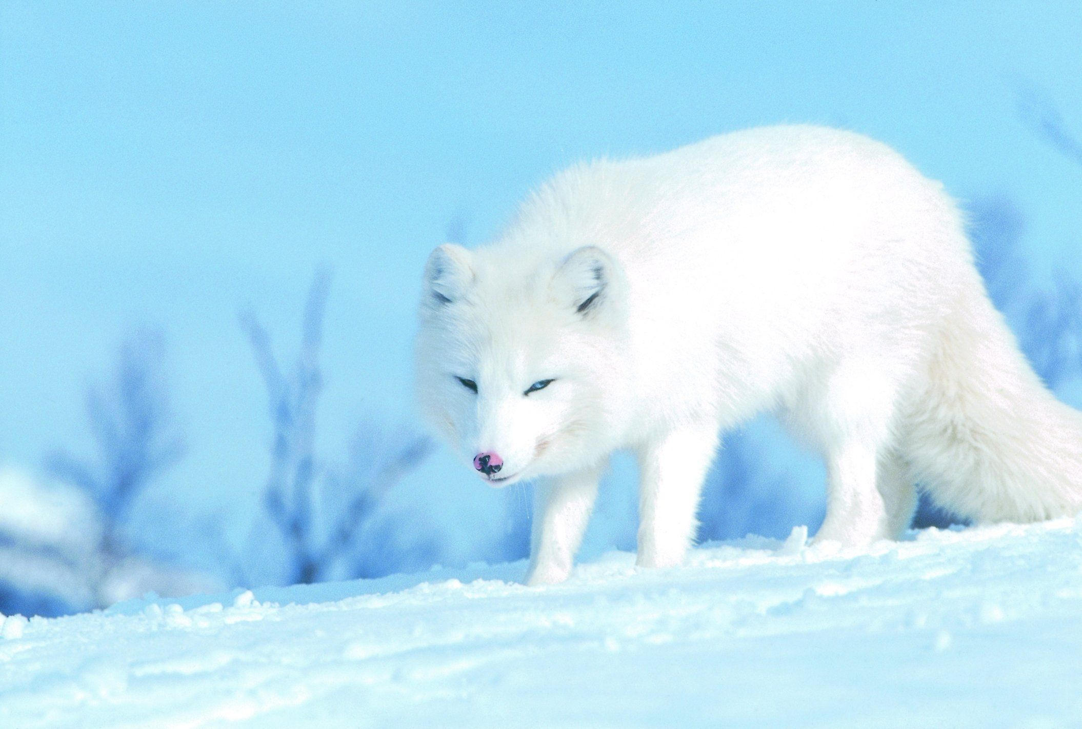 Polar White Fox Wallpaper | 2110x1422 | ID:58494 - WallpaperVortex.com