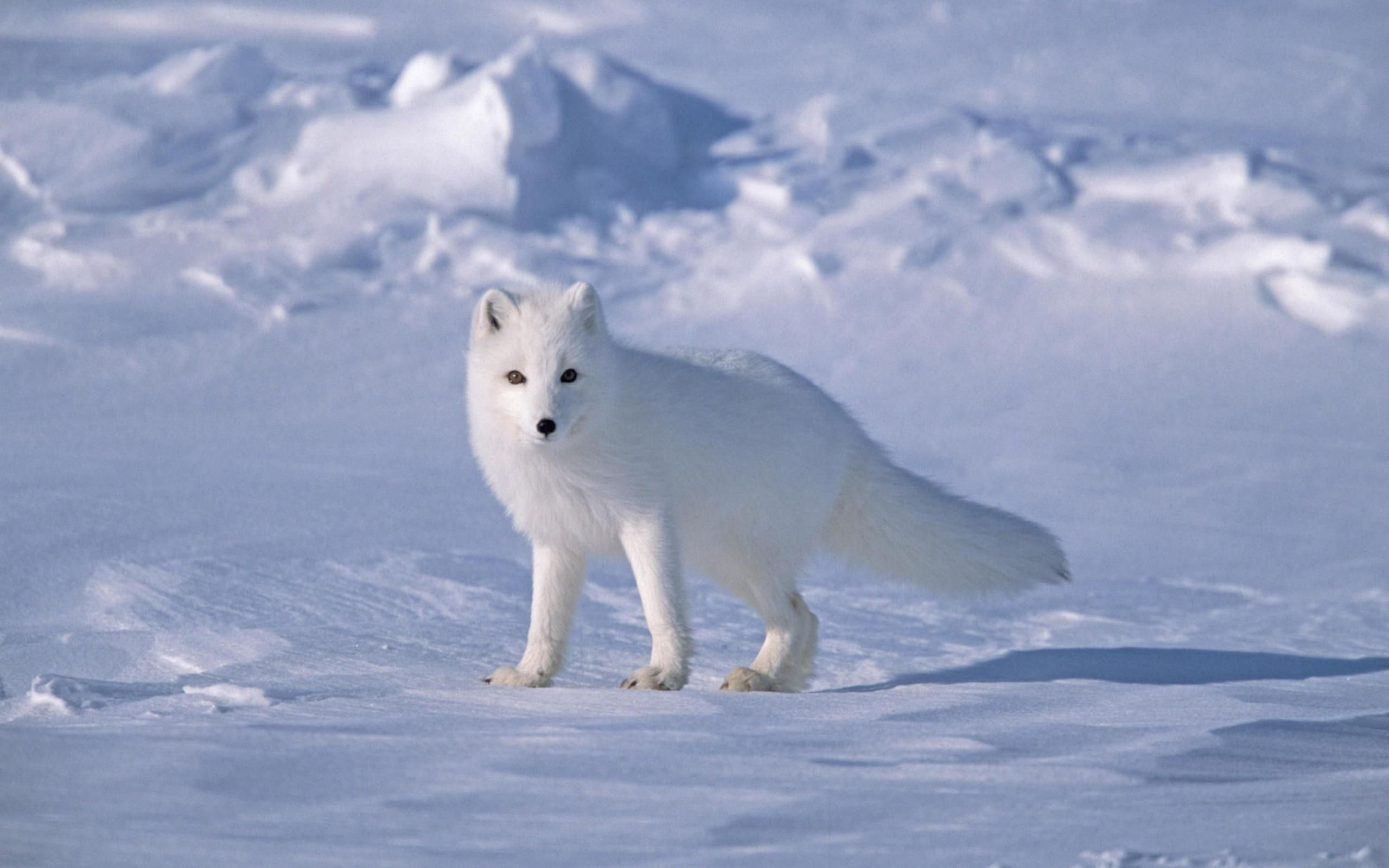 Beautiful White Fox | HD Wallpapers Photos
