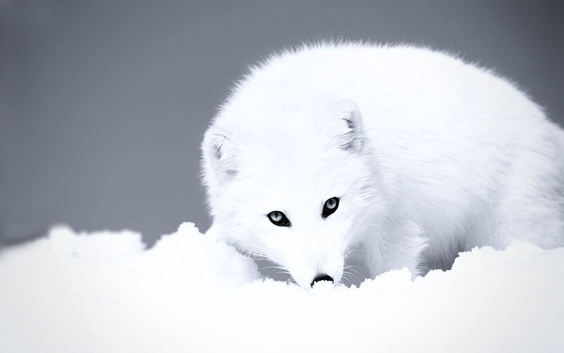 arctic fox - HD Desktop Wallpapers | 4k HD