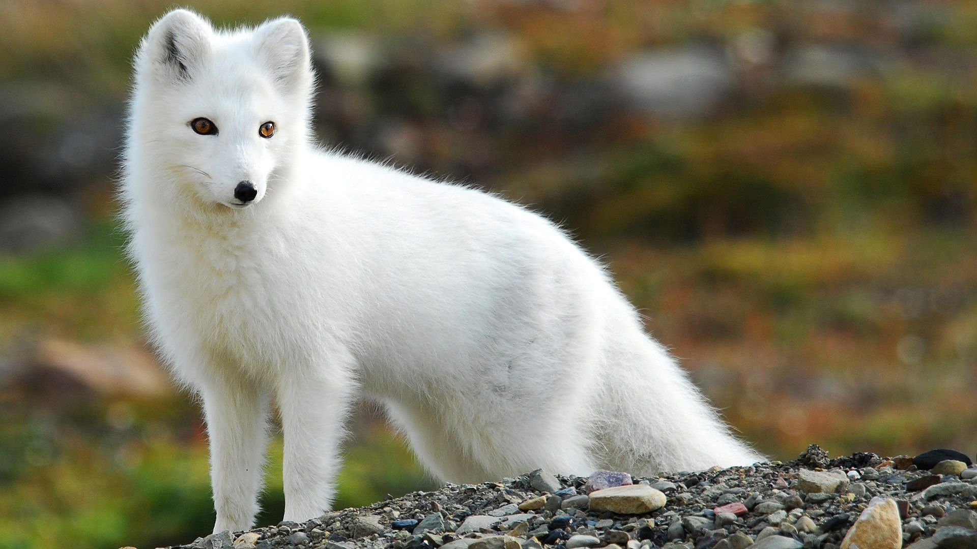 46 Arctic Fox HD Wallpapers | Backgrounds - Wallpaper Abyss ...