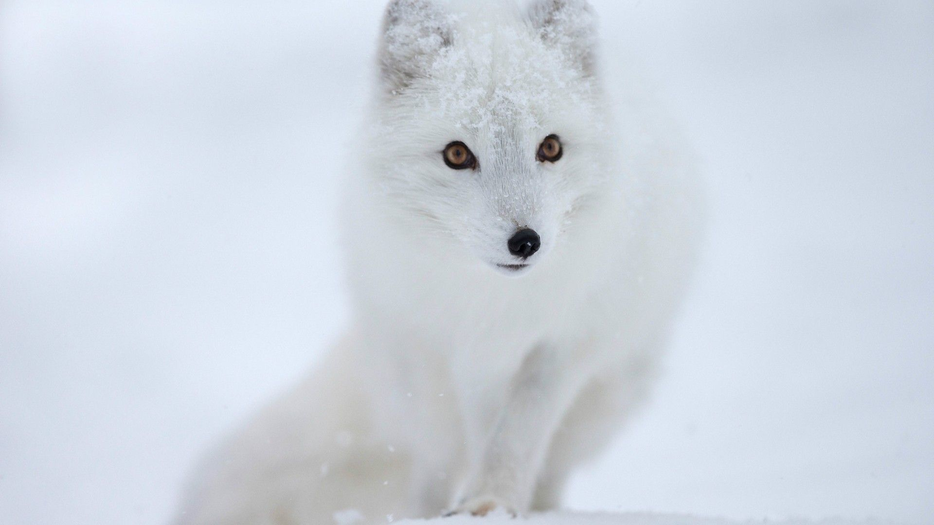 White Fox - Wallpaper, High Definition, High Quality, Widescreen