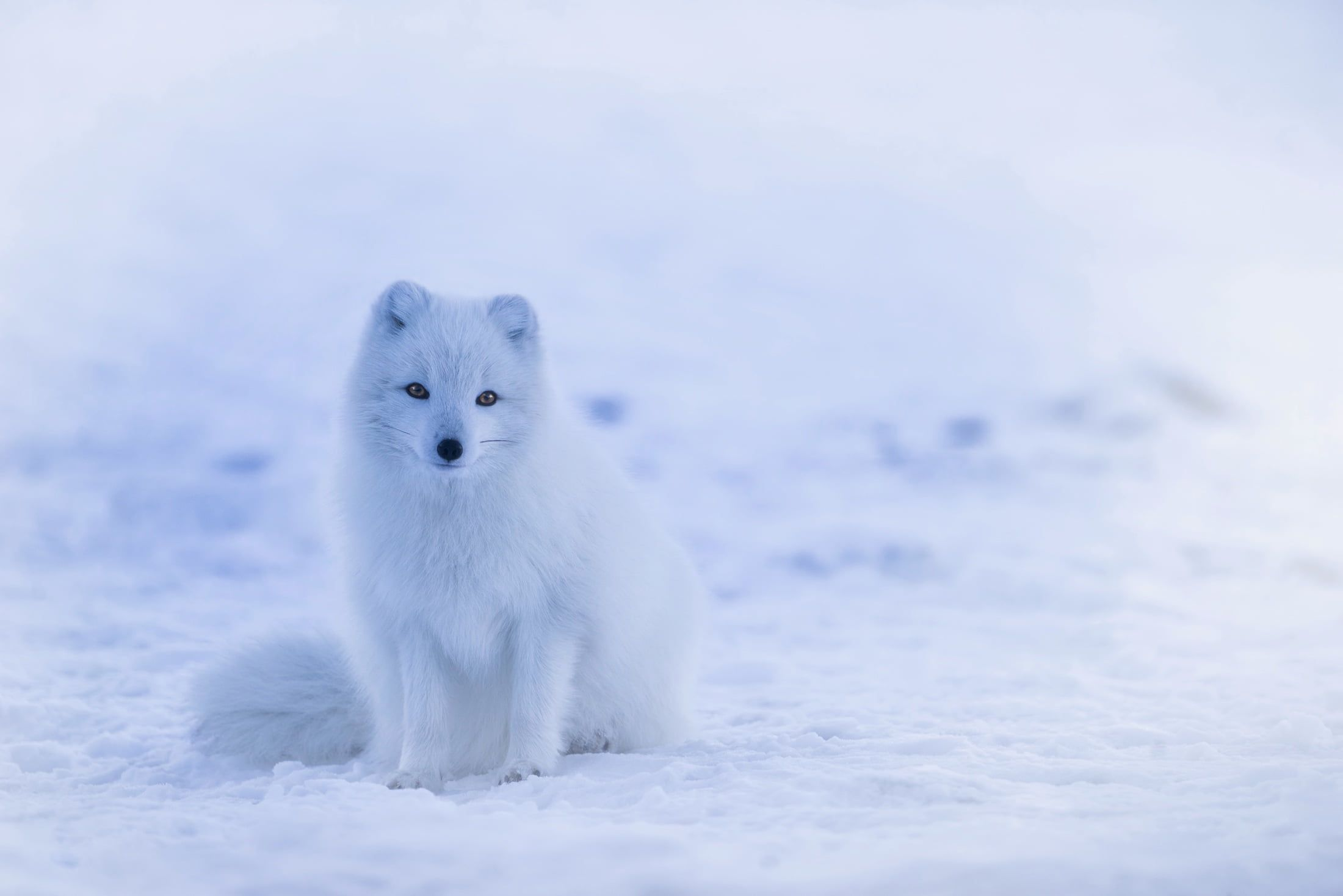 Photo of long coated white dog, arctic fox HD wallpaper ...