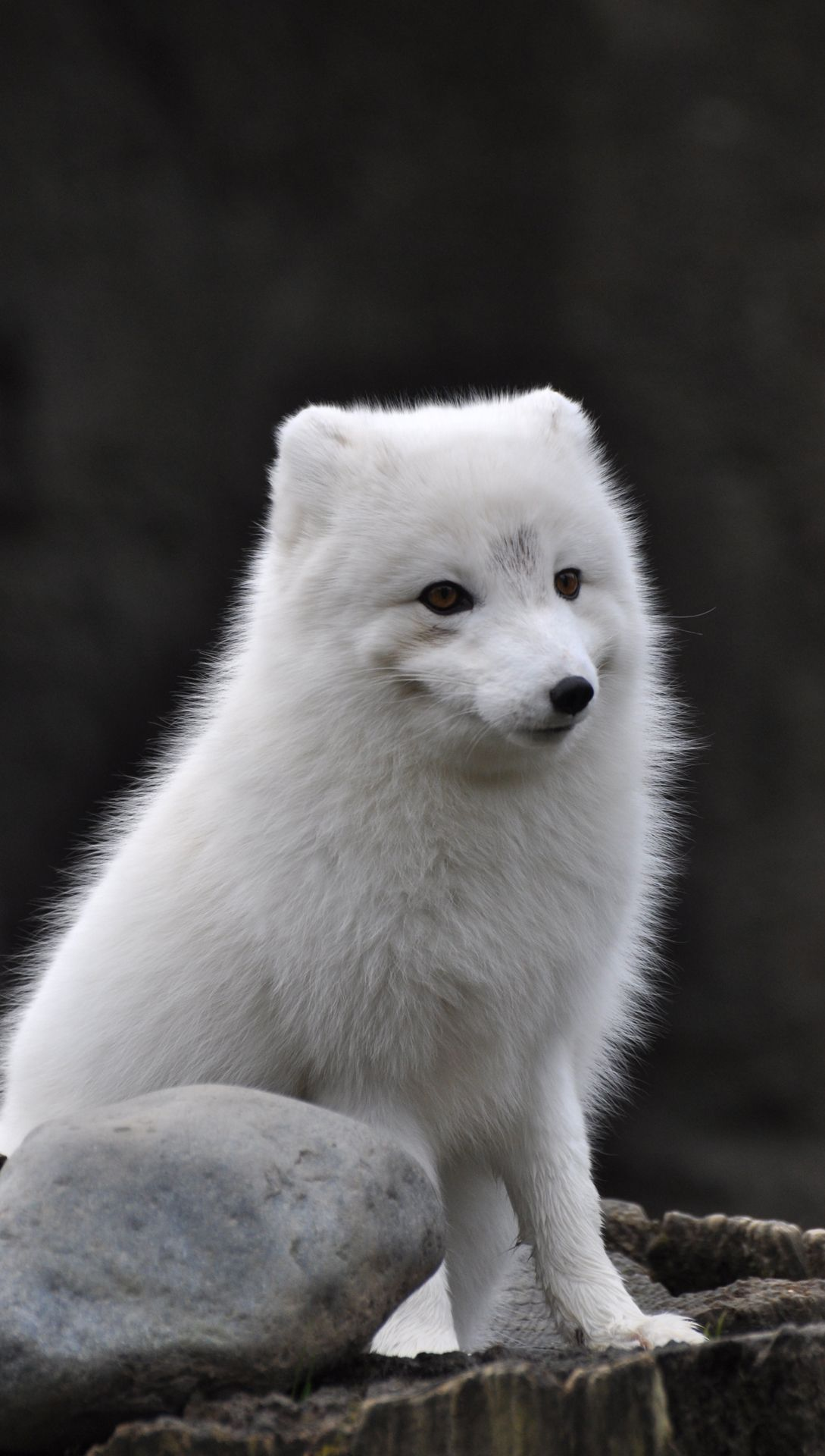 Arctic Fox Wallpapers Images Photos Pictures Backgrounds ...