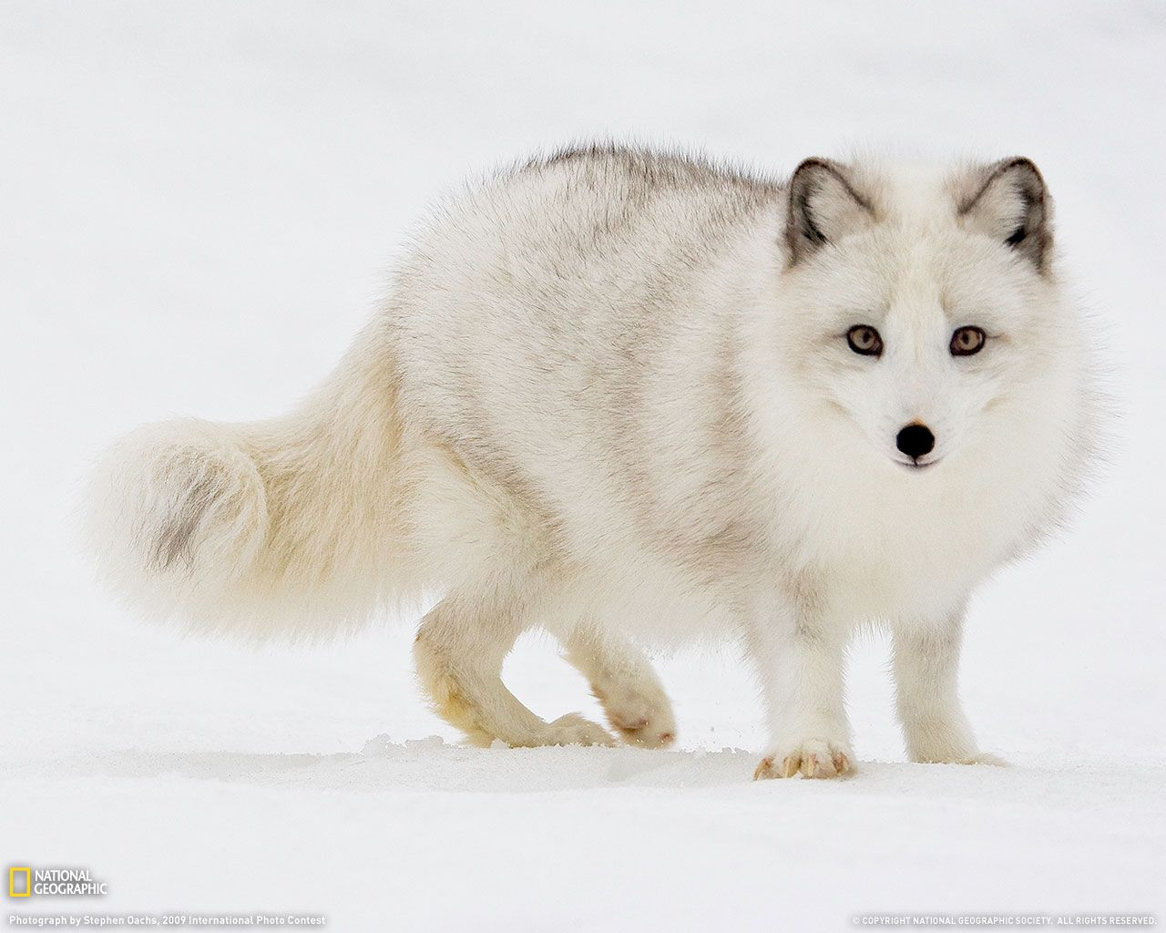 Arctic Fox HD Wallpapers 18651 - Baltana