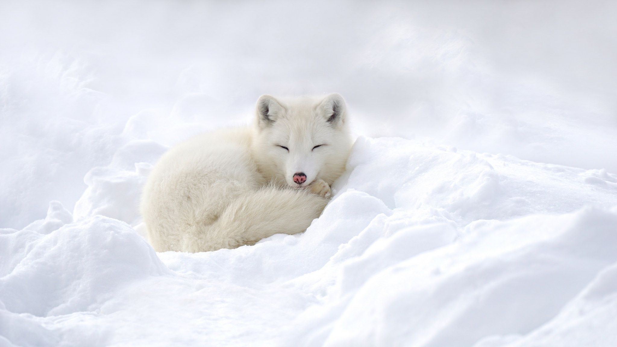 67 Arctic Fox HD Wallpapers | Backgrounds - Wallpaper Abyss - Page 2