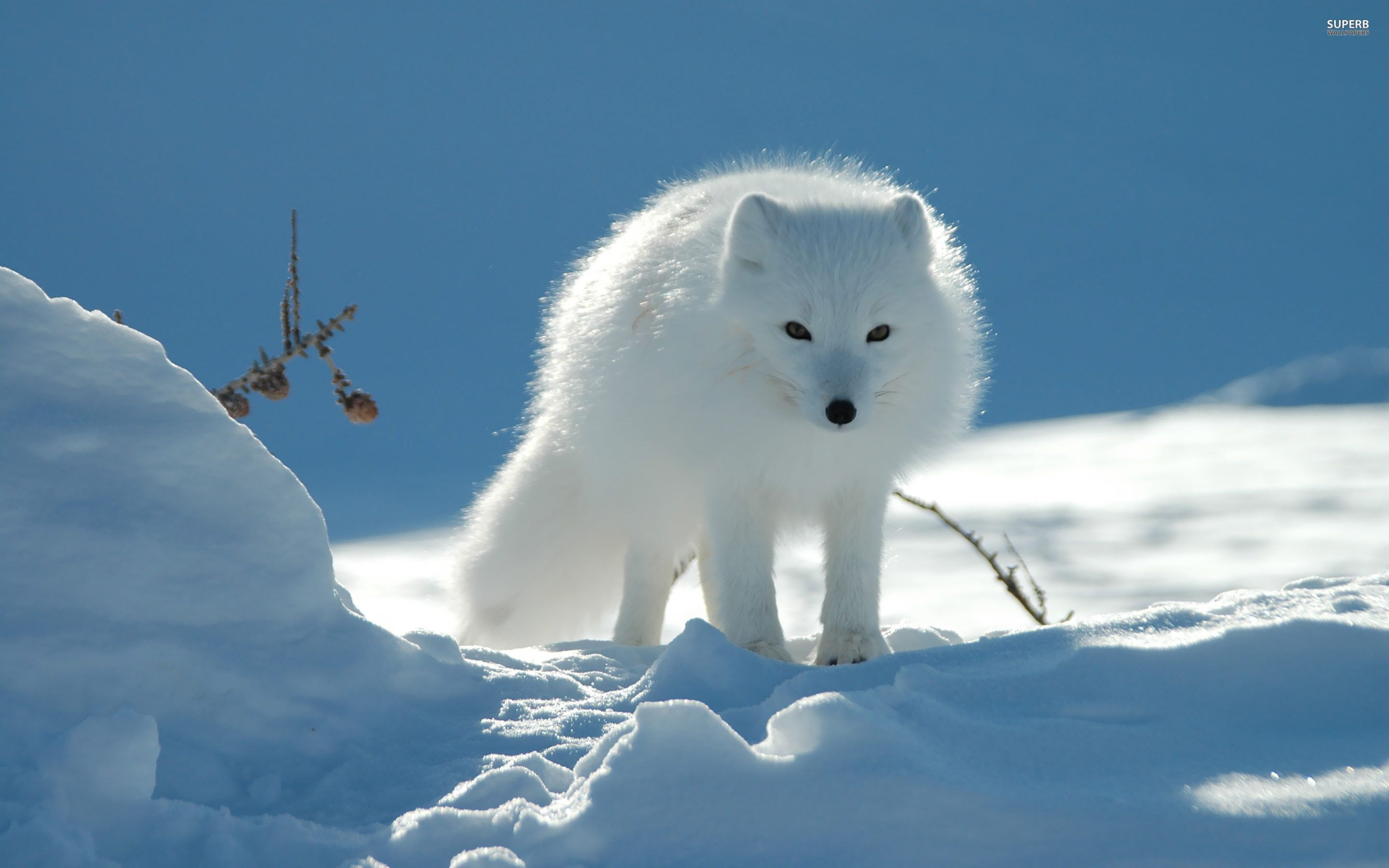 Arctic Fox Wallpapers Wallpaper | Wallpapers For Desktop ...