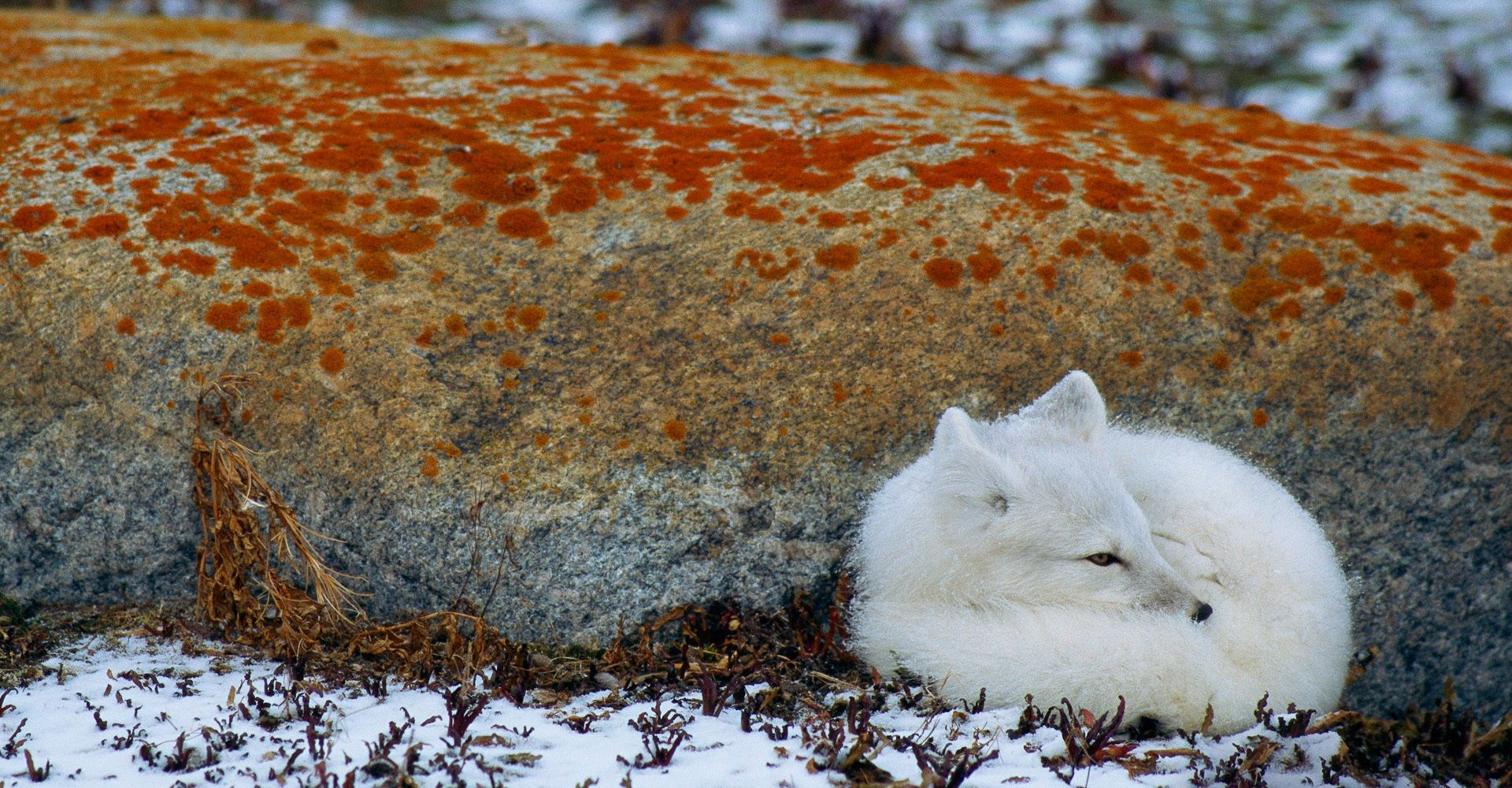 Arctic Fox Wallpaper and Background | 1920x1000 | ID:83242