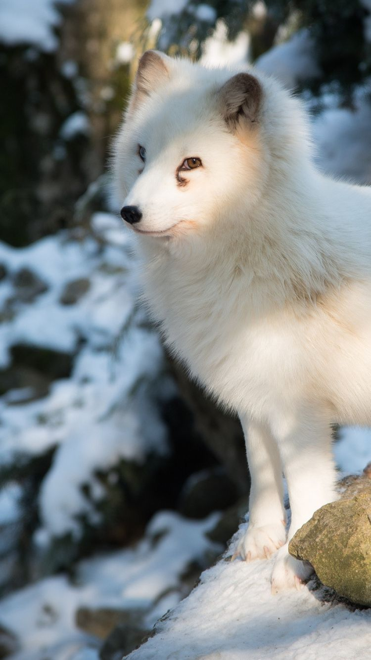Arctic Fox Wallpapers Backgrounds | Wallpapers 4k | Pinterest ...