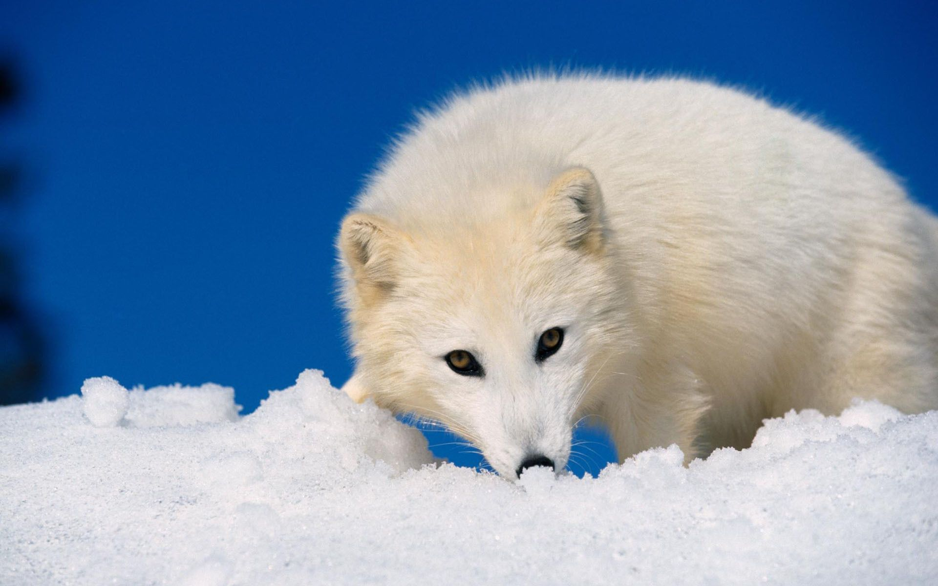 White Fox HD Wallpaper | Top Wallpapers