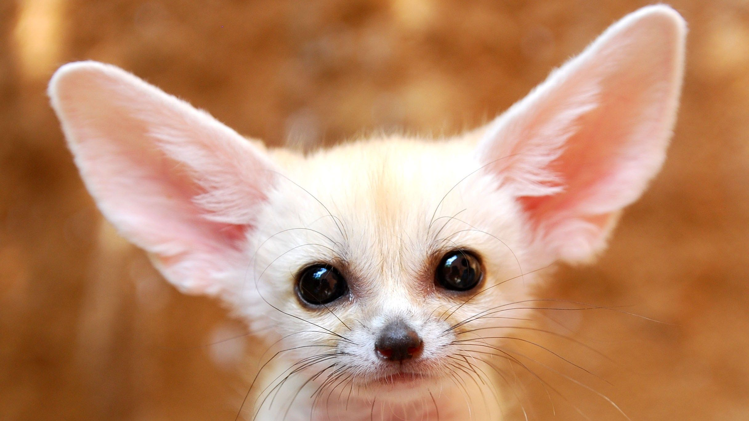 White Baby Fennec Fox - wallpaper.