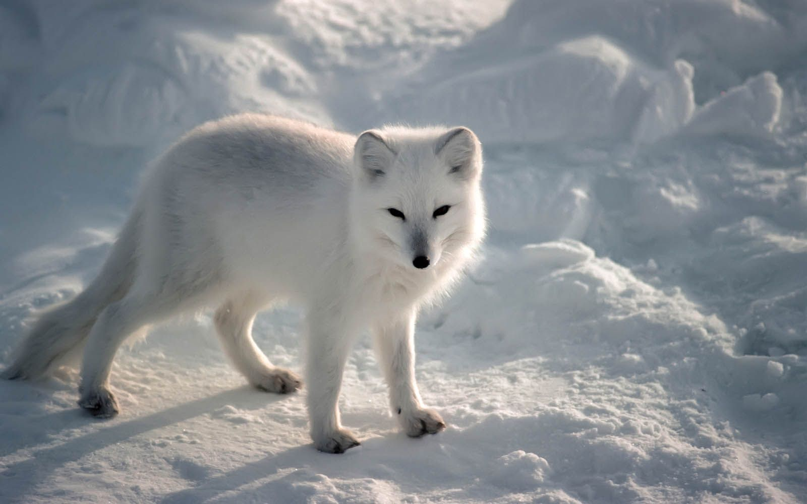 arctic fox wallpapers arctic fox desktop wallpapers arctic fox ...