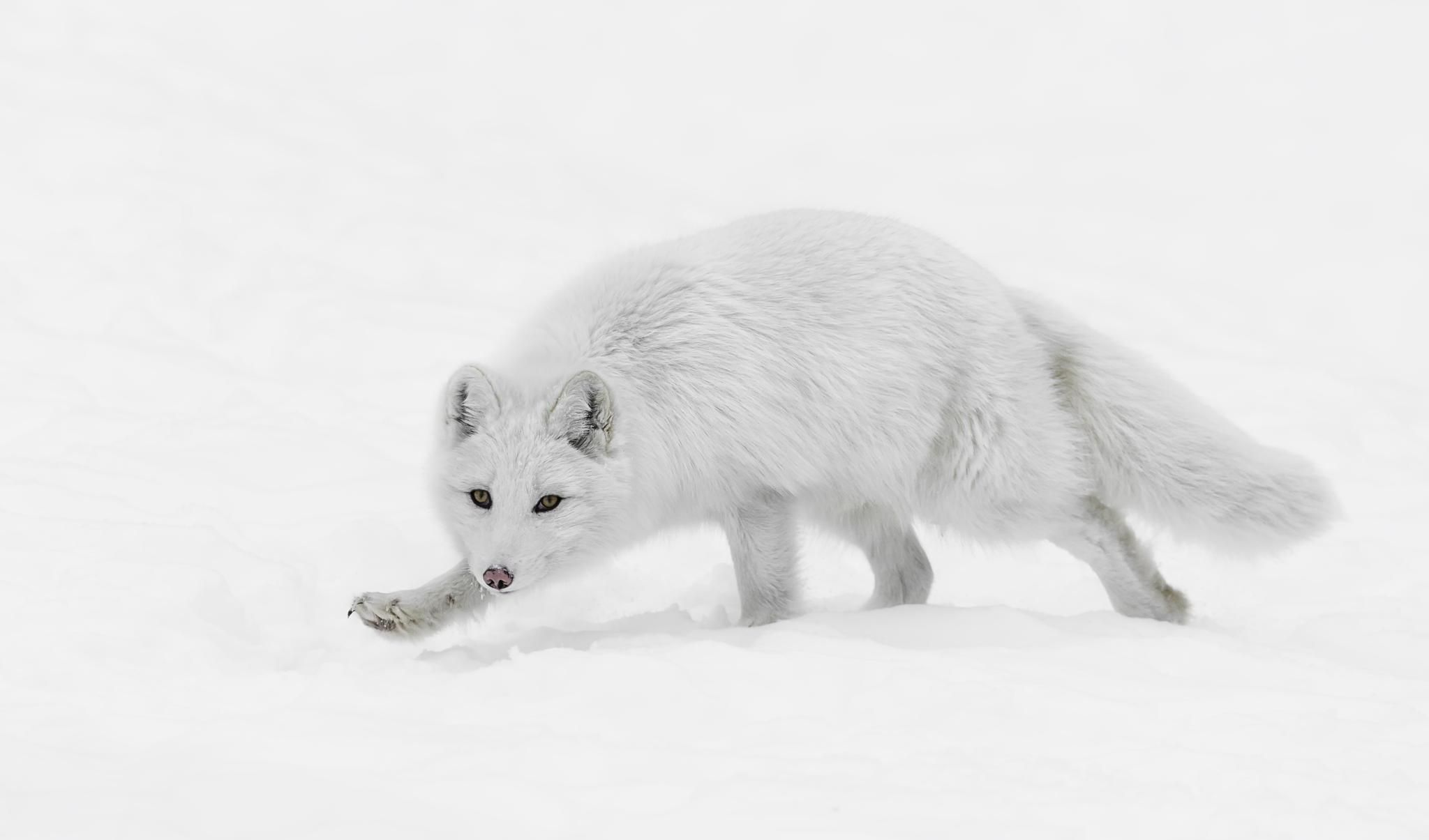 Arctic Fox Wallpaper | 2048x1205 | ID:53368 - WallpaperVortex.com