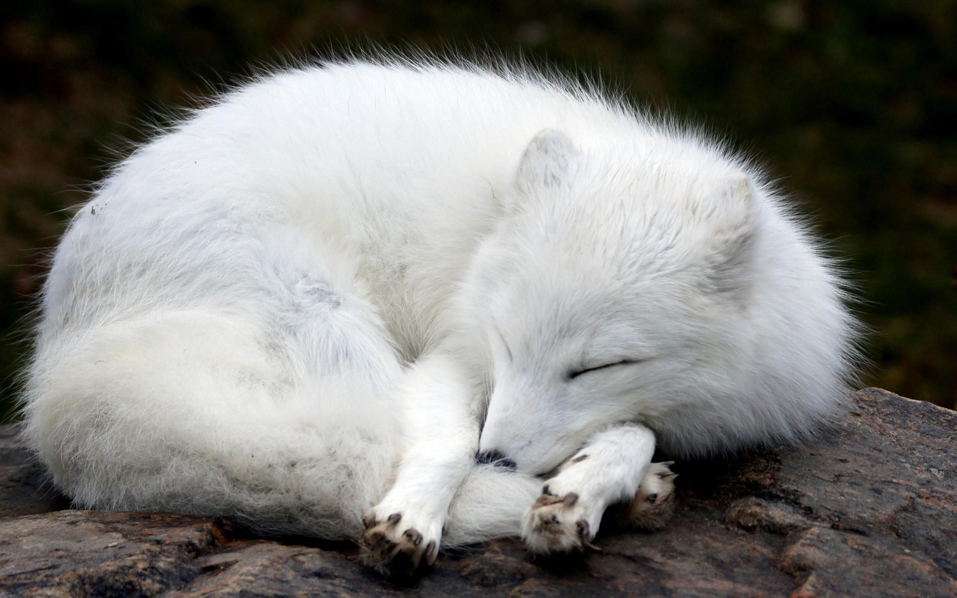 Arctic Fox Desktop Wallpapers HD
