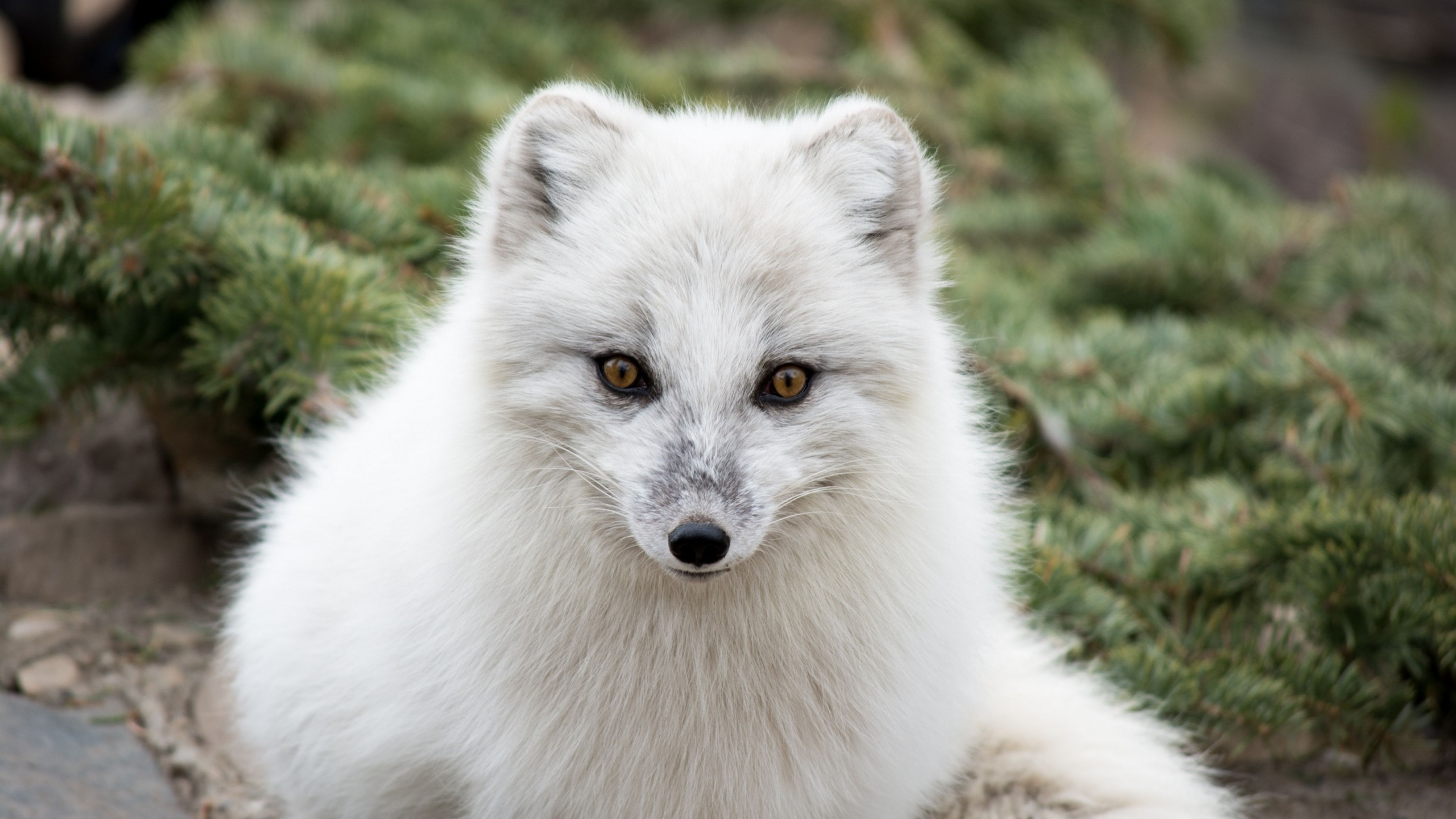 4K Ultra HD Arctic fox Wallpapers HD, Desktop Backgrounds ...
