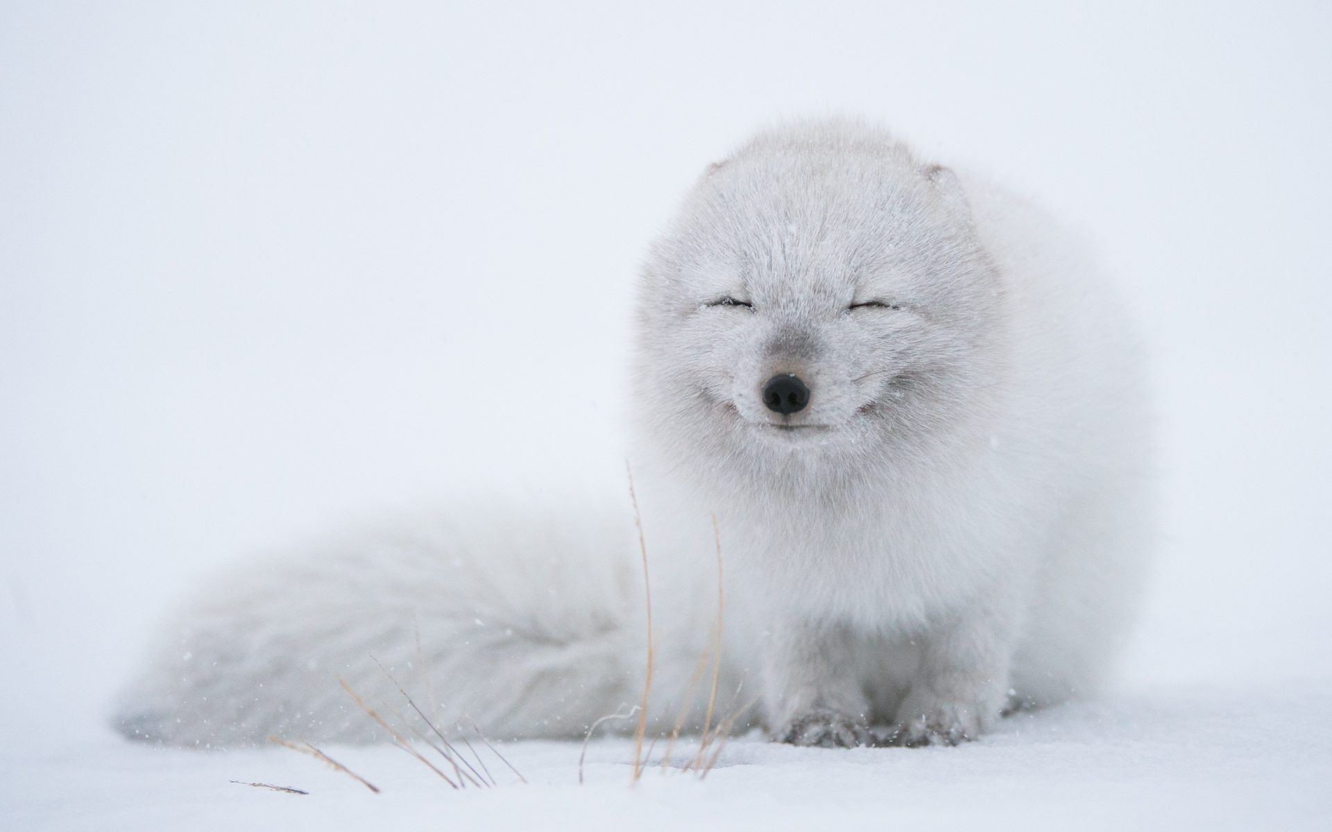 Free Download Arctic Fox Wallpaper - wallpaper.wiki